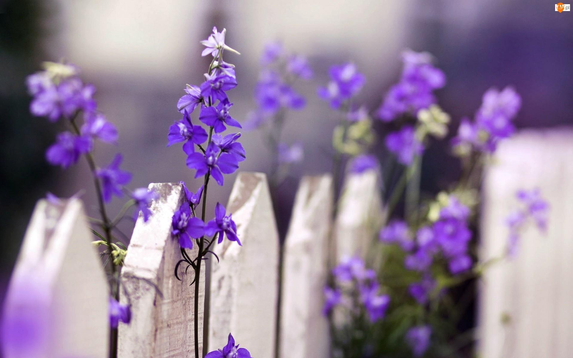 Ostróżka, Płot, Kwiatki, Biały, Fioletowe