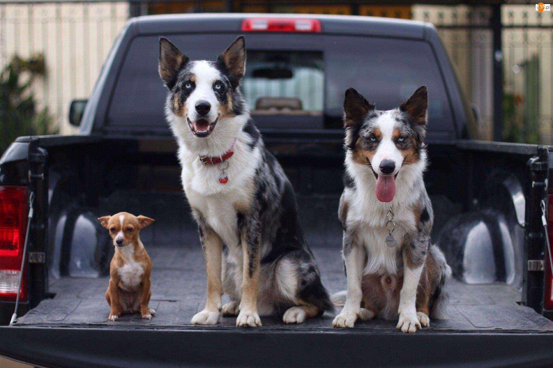 Psy, Samochód