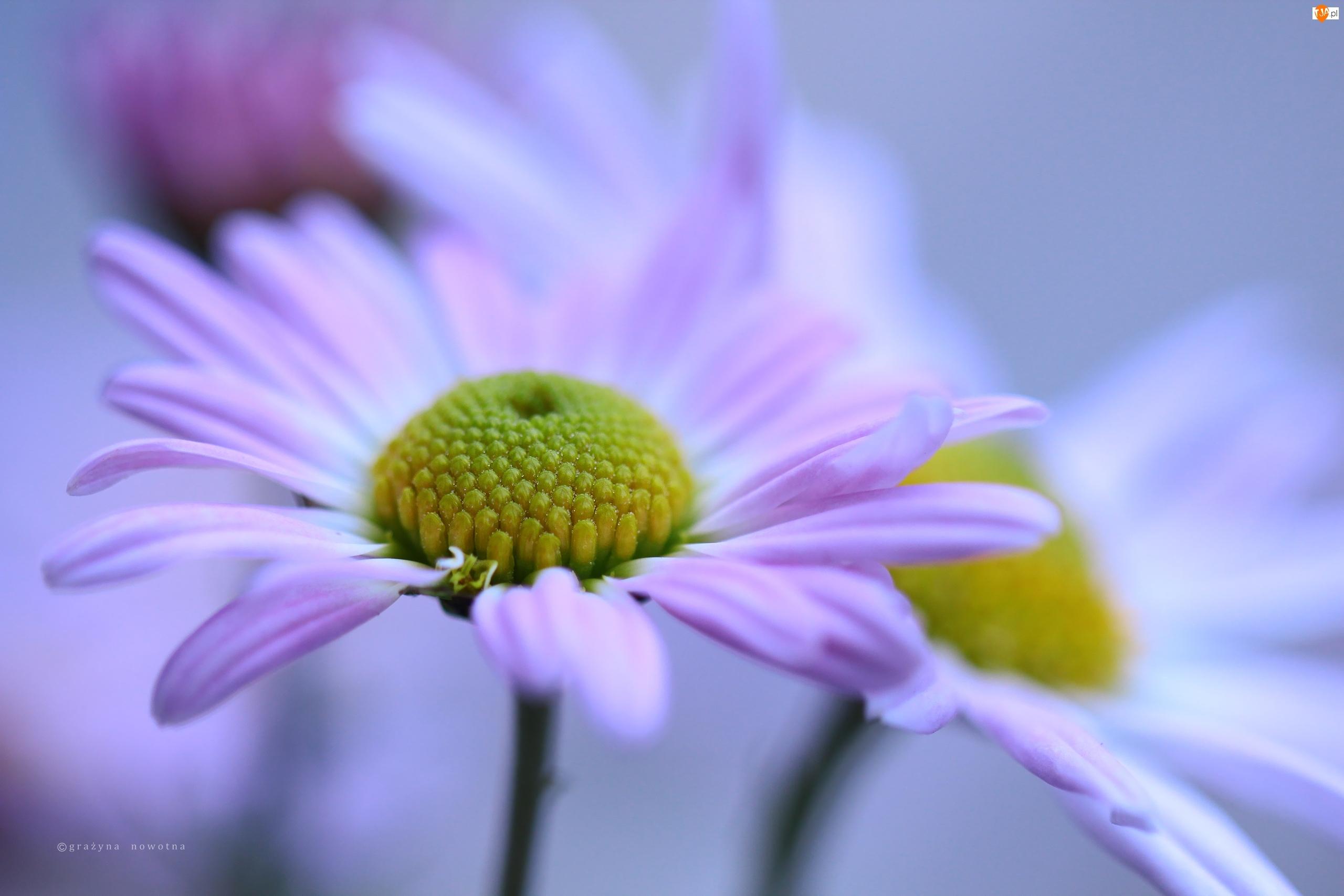 Chryzantemy, Kwiaty