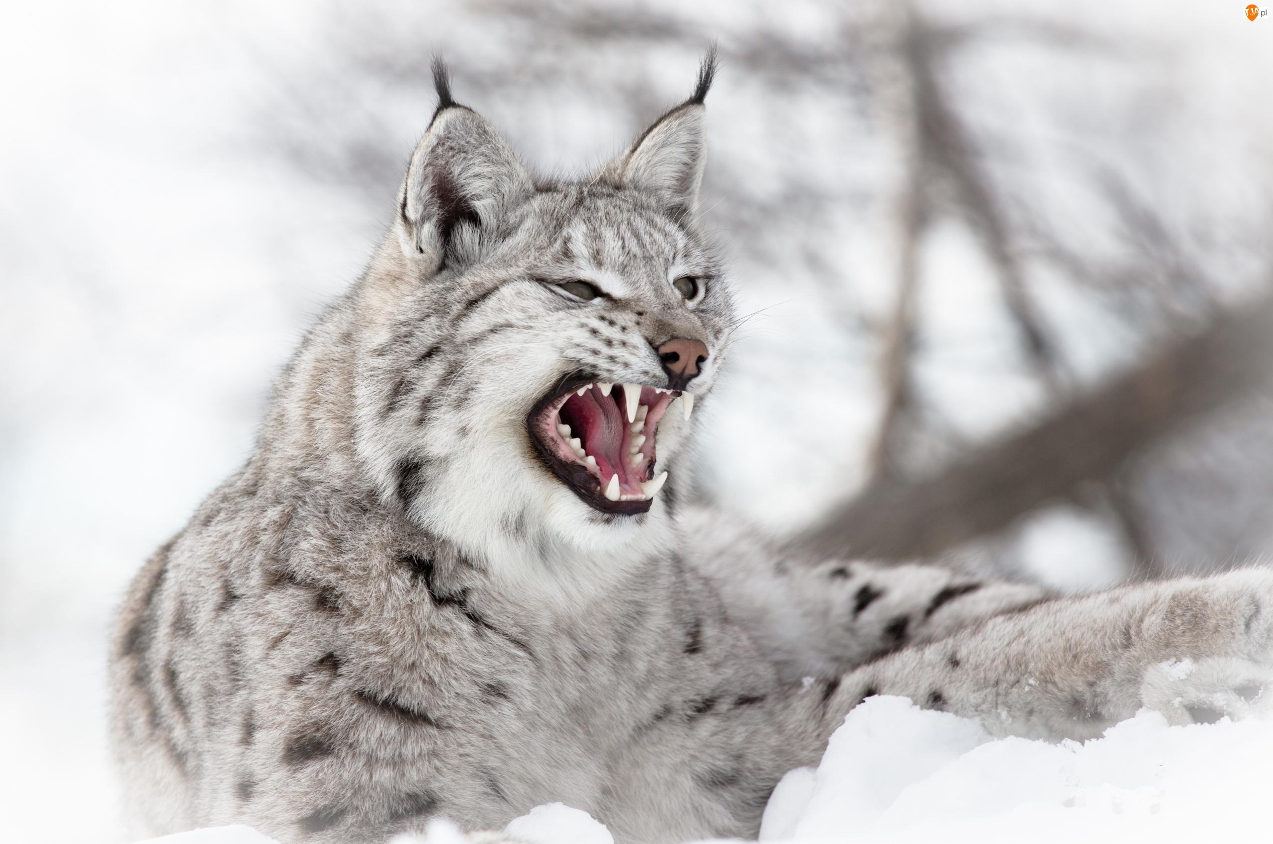 Śnieg, Wściekły, Ryś