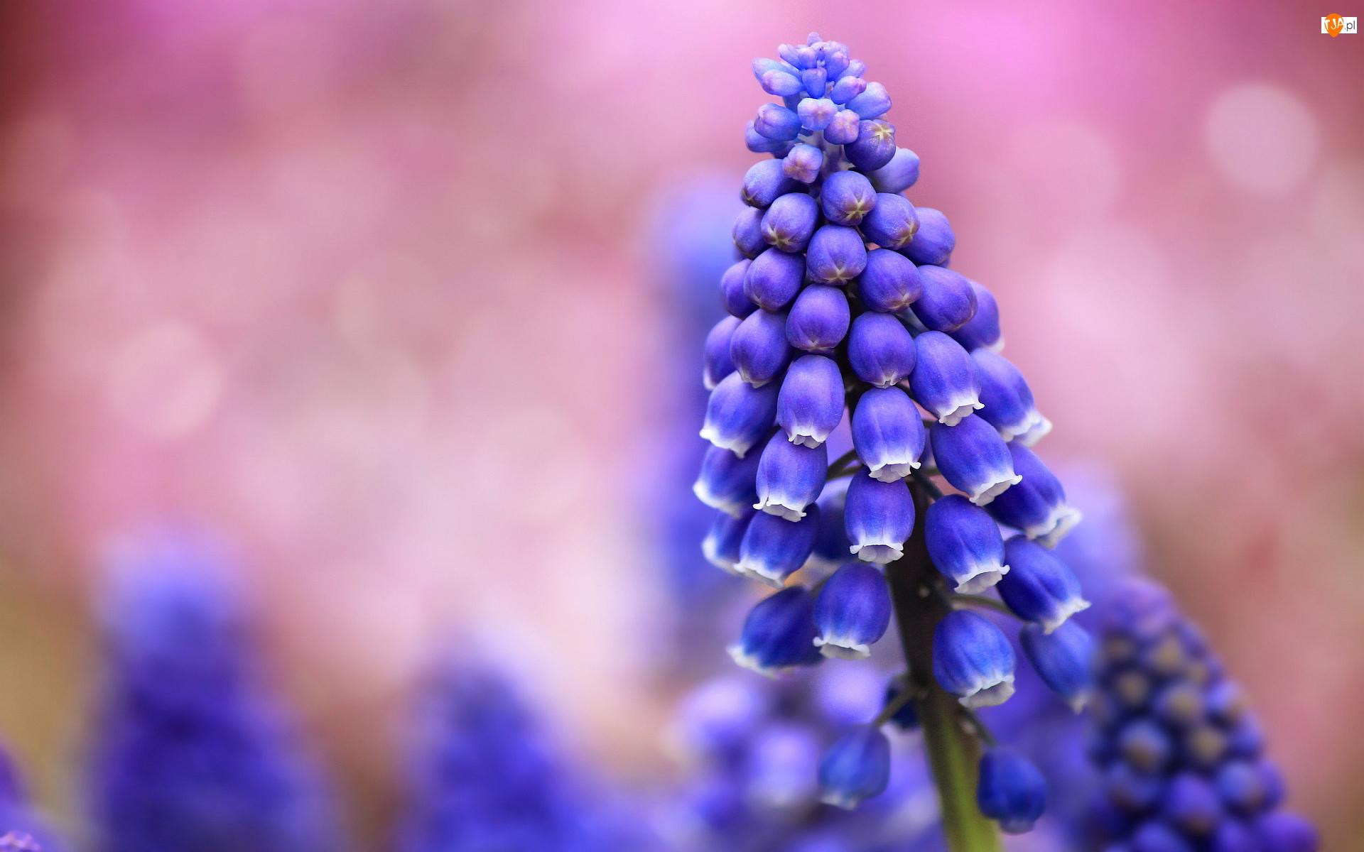 Kwiat, Szafirek