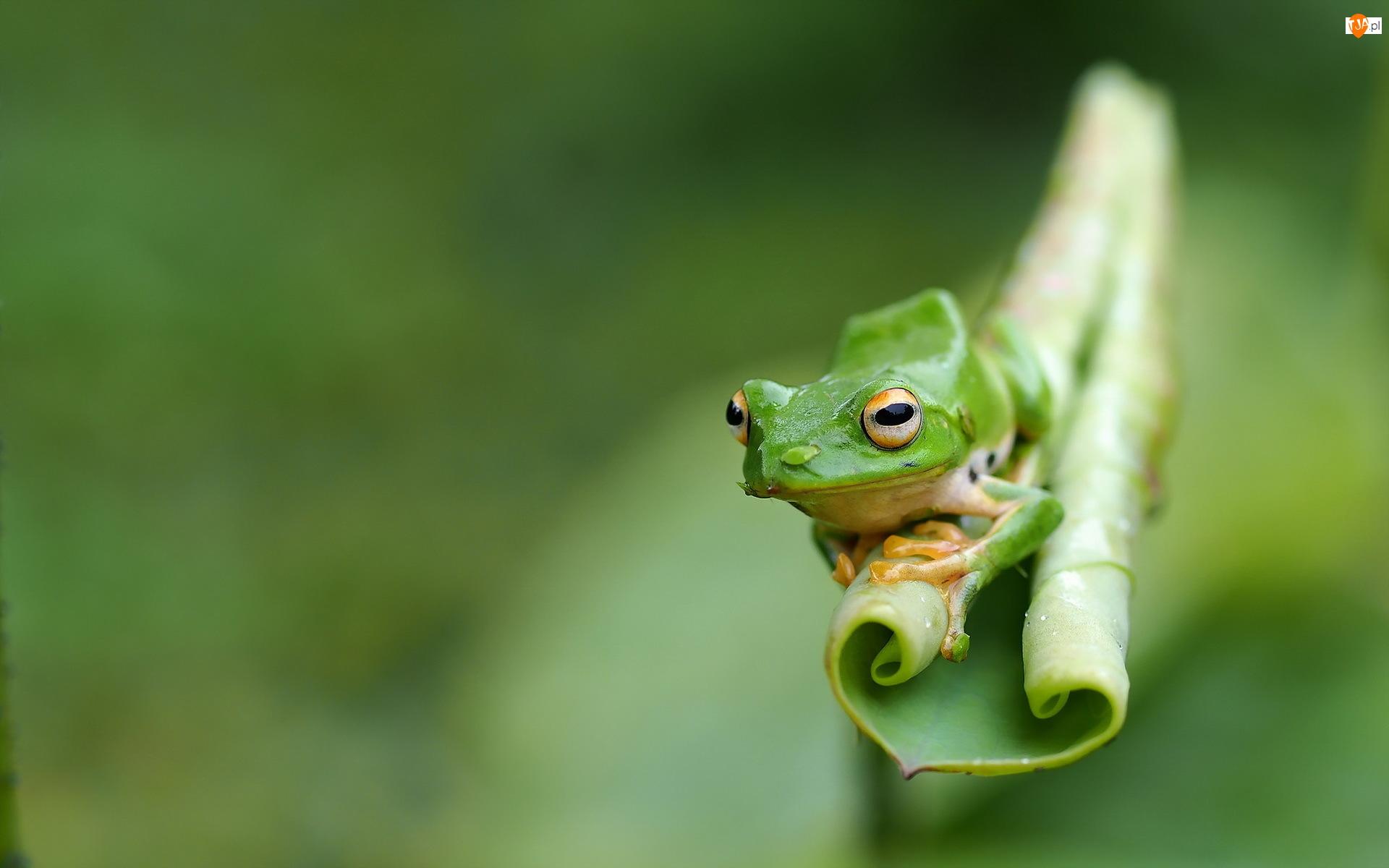 Liść, Zielona, Żaba