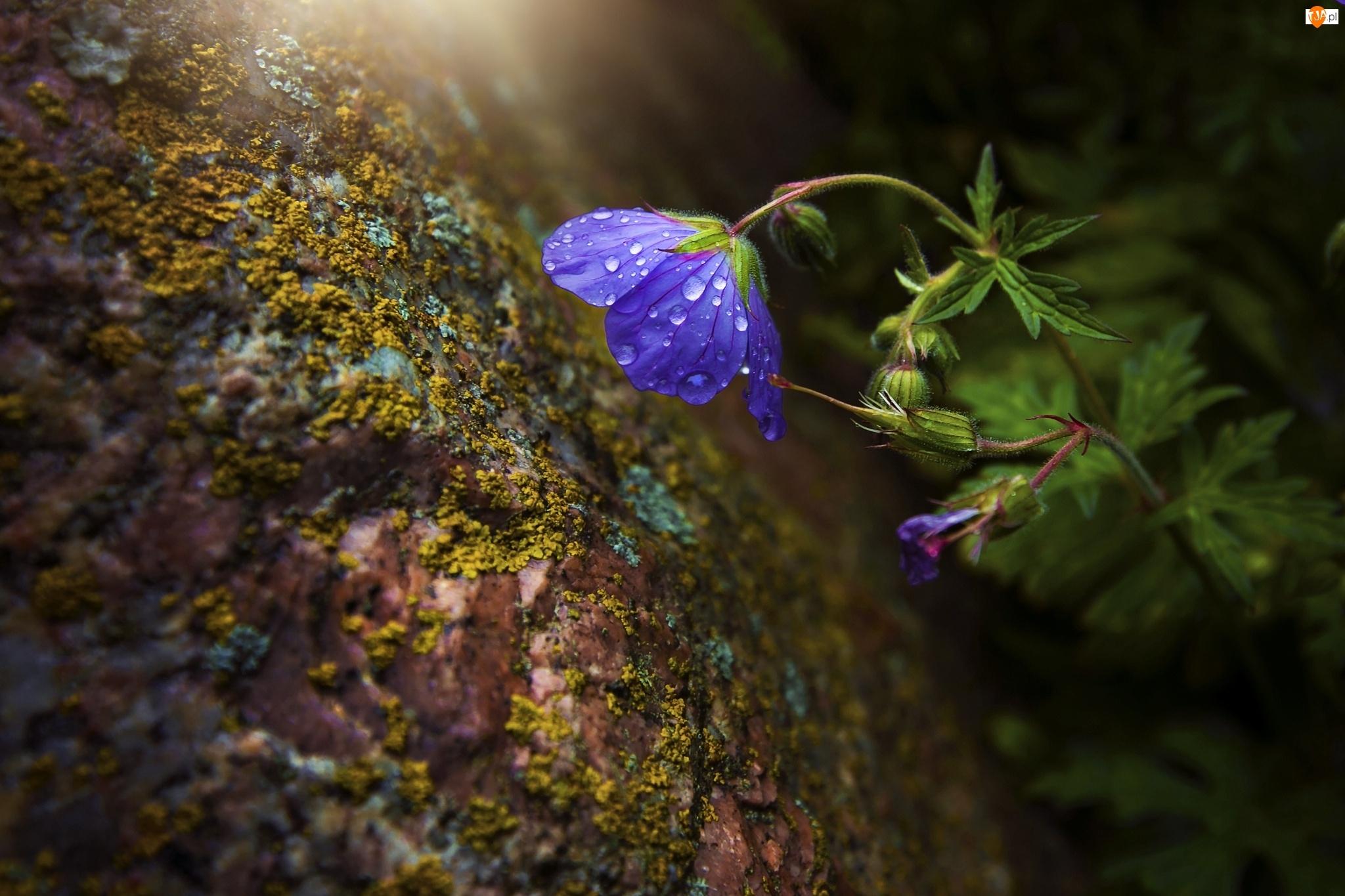 Zbliżenie, Kwiat, Rosa