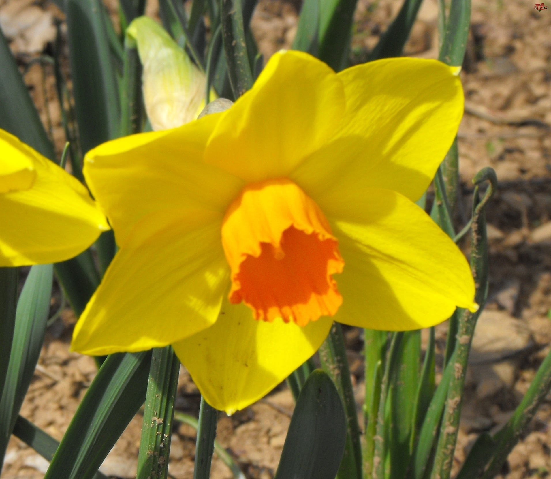Żółty, Kwiatek