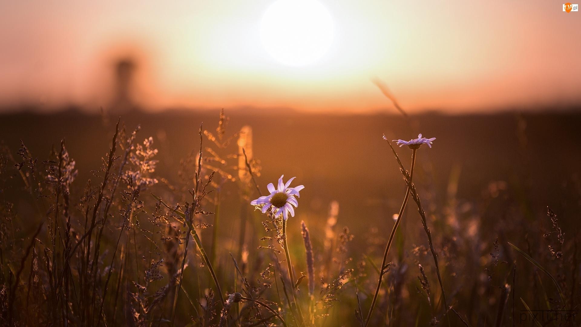 Promienie słoneczne, Łąka, Kwiaty