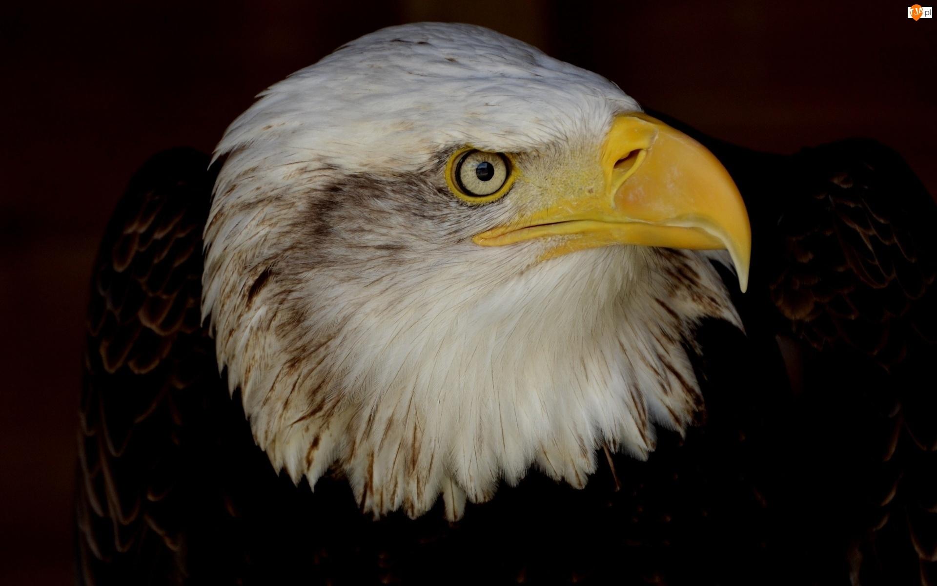 Bielik amerykański, Ptak, Orzeł