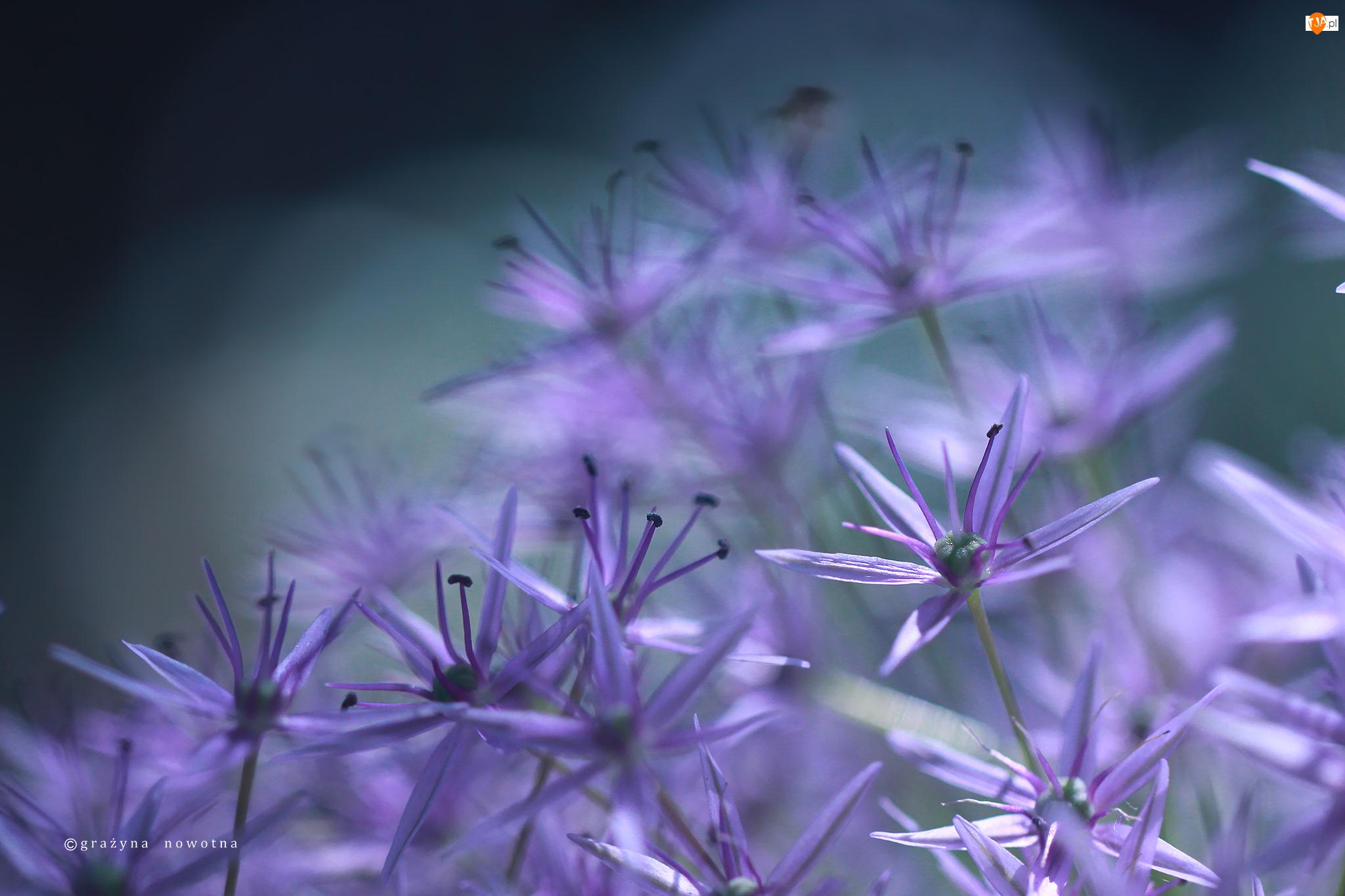 Kwiaty, Czosnek Ozdobny, Fioletowe