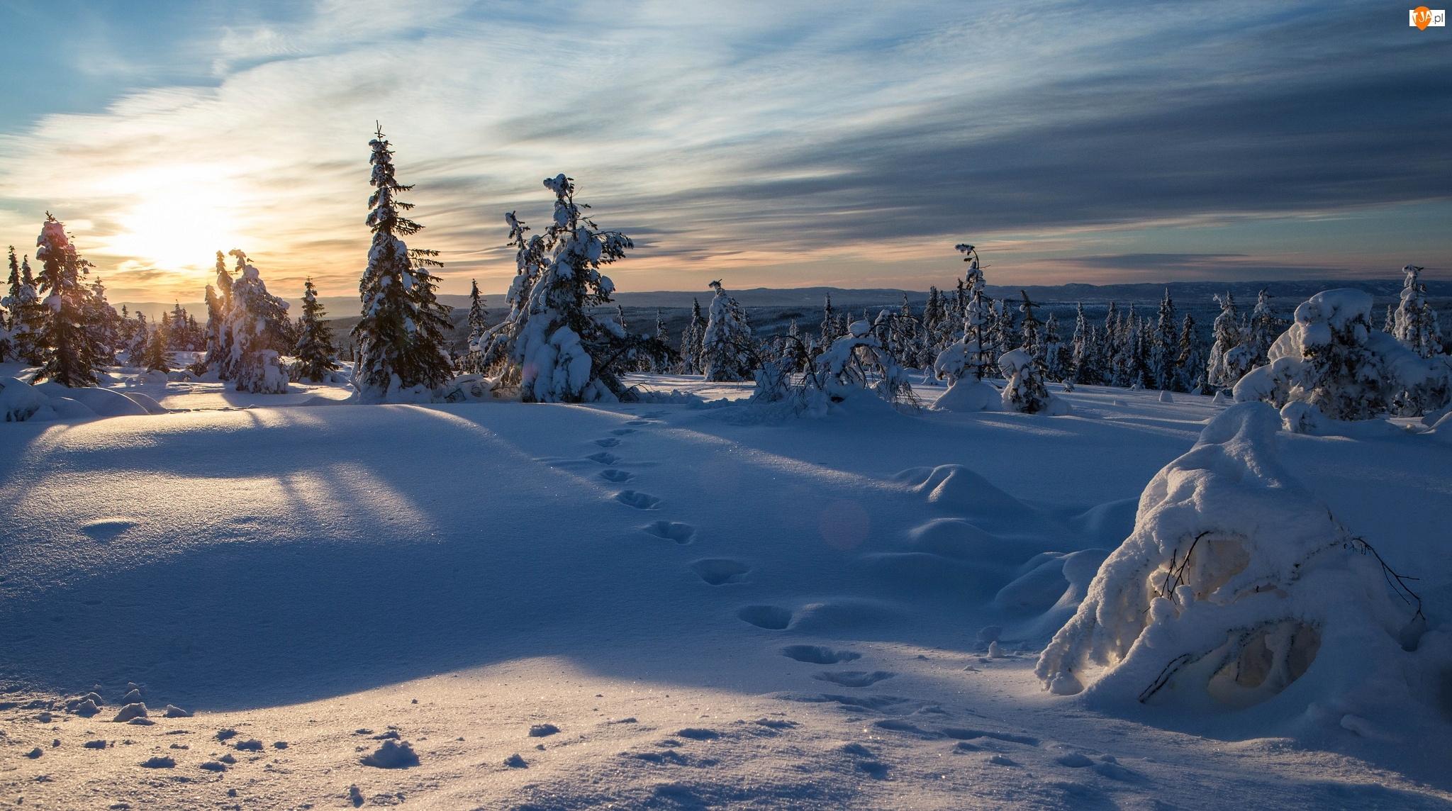 Las, Świerki, Wschód słońca, Zima