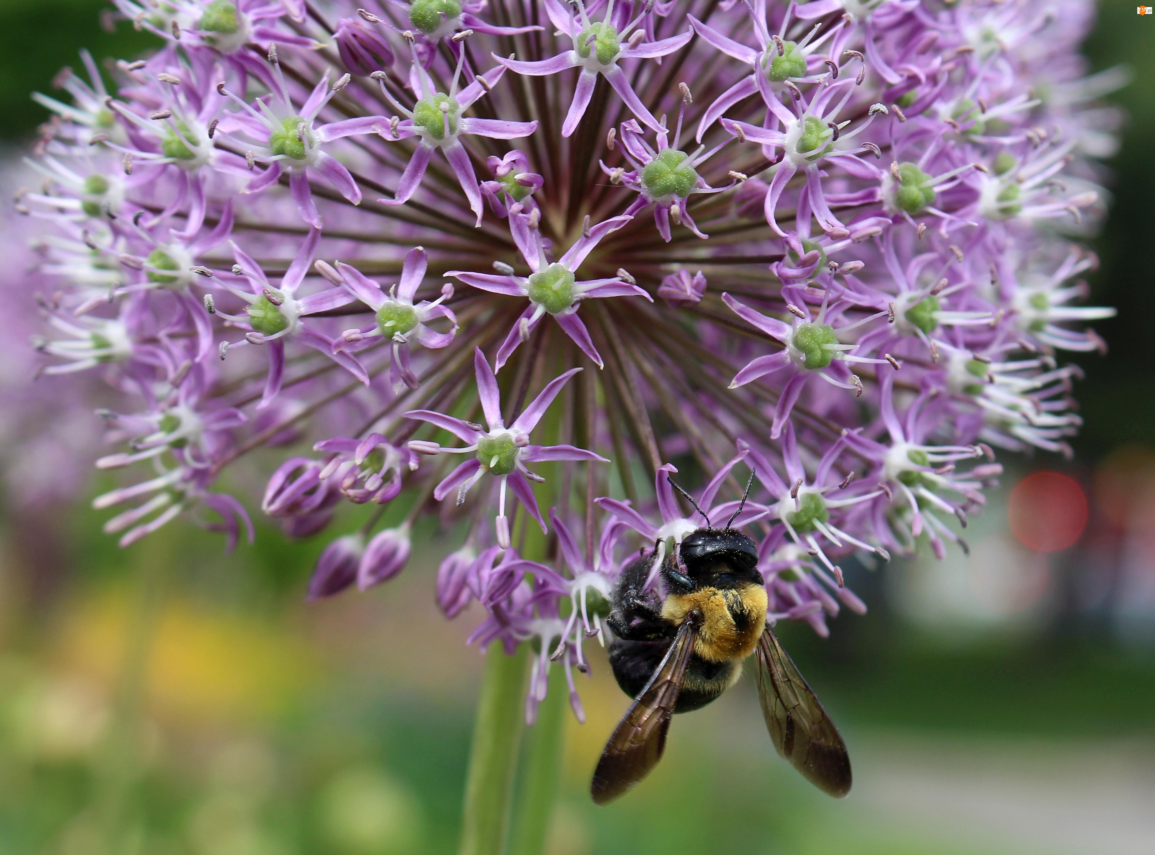 Czosnek ozdobny, Pszczoła