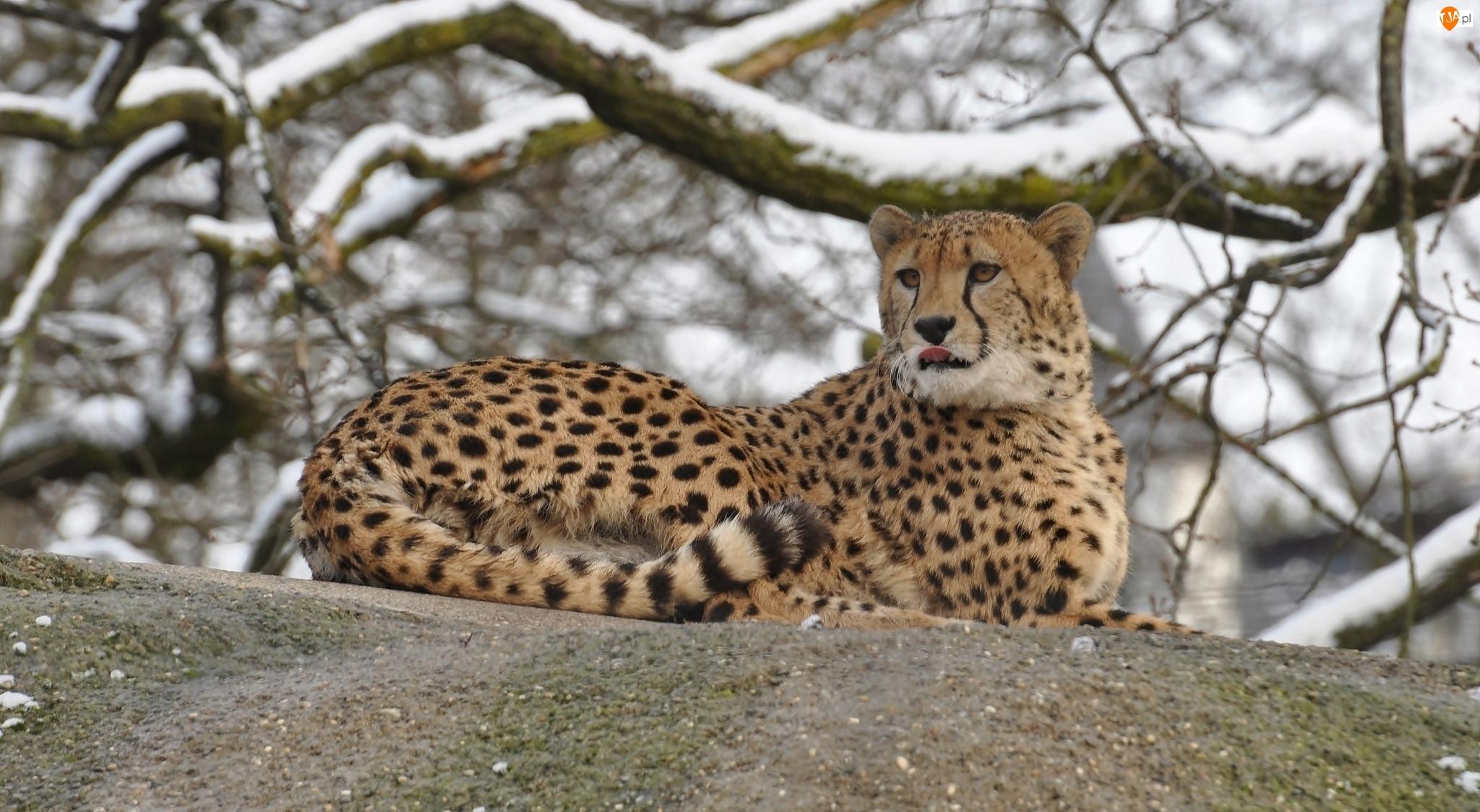 Leżący, Zima, Gepard, Gałęzie