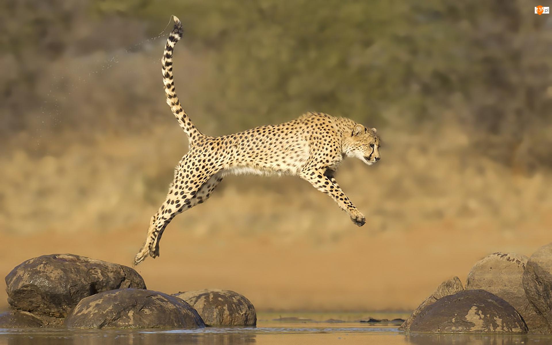 Kamienie, Gepard, Skok