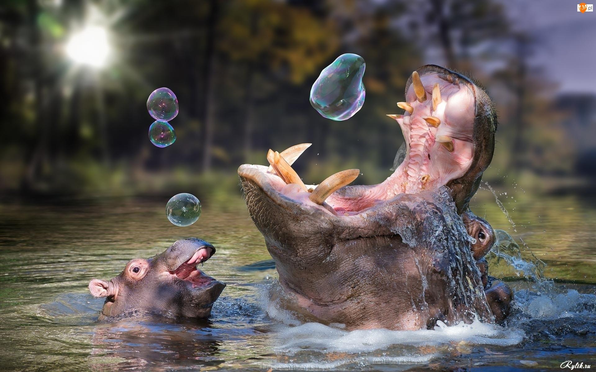 Hipopotamy, Bańki