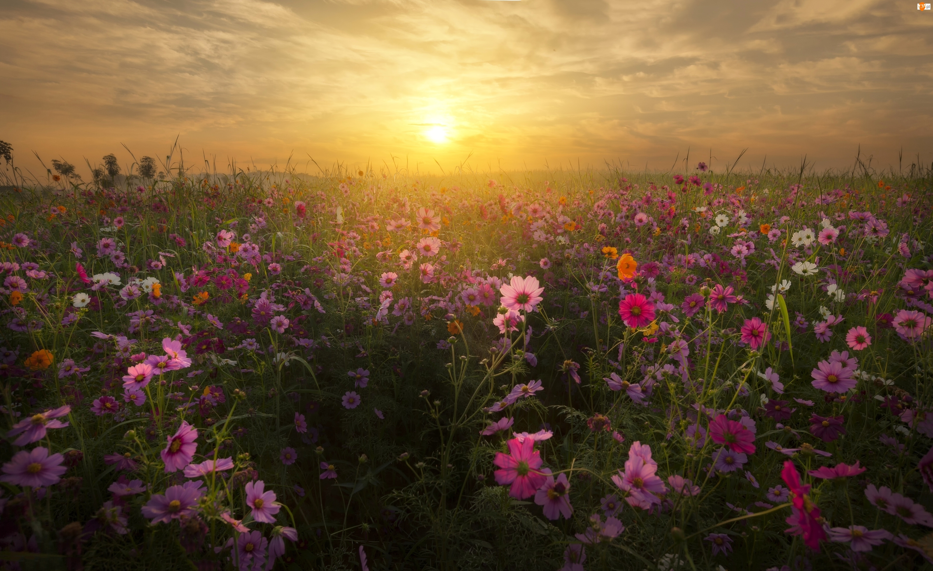 Łąka, Kosmea, Mgła, Wschód Słońca