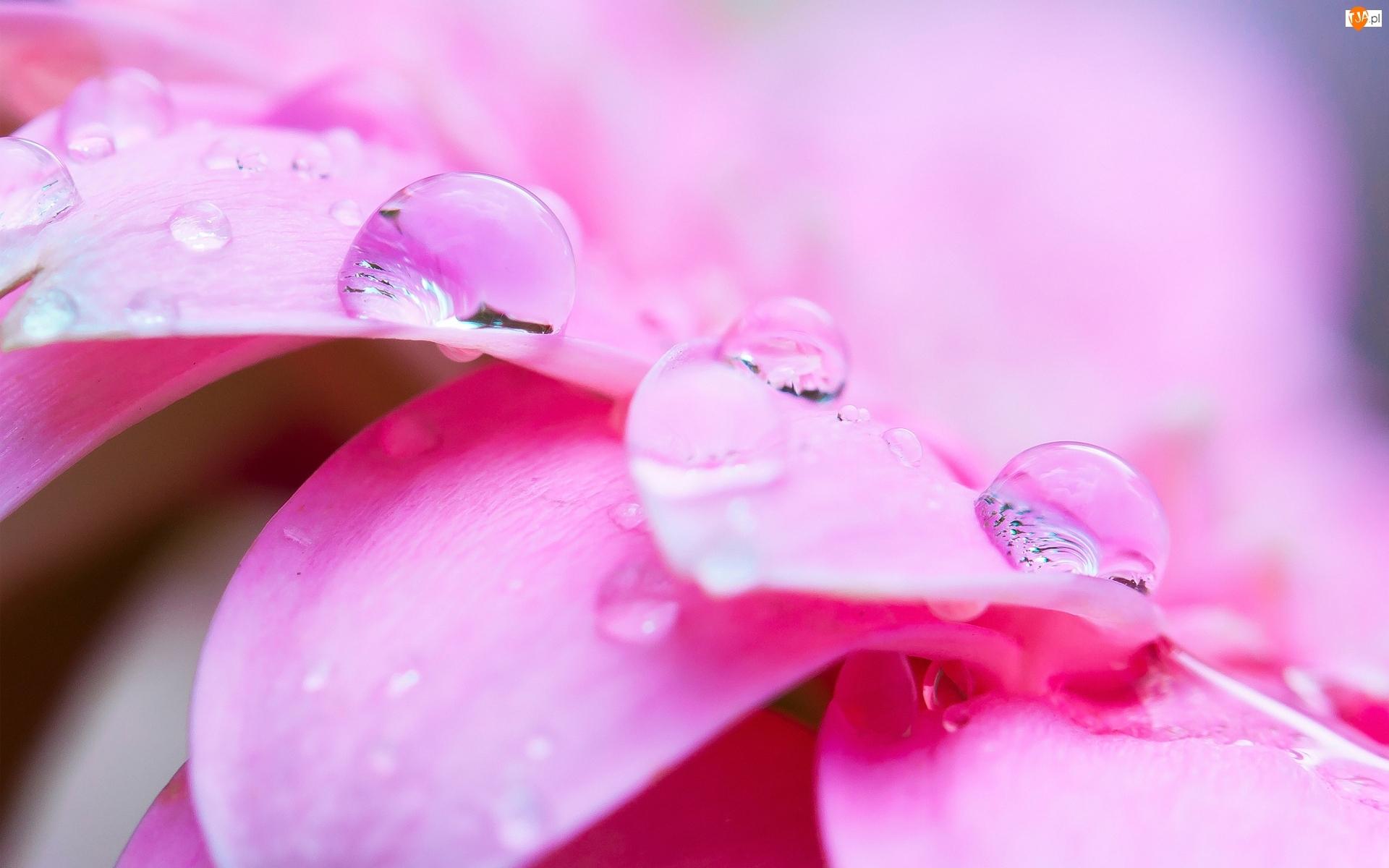 Kwiat, Makro, Płatki, Krople