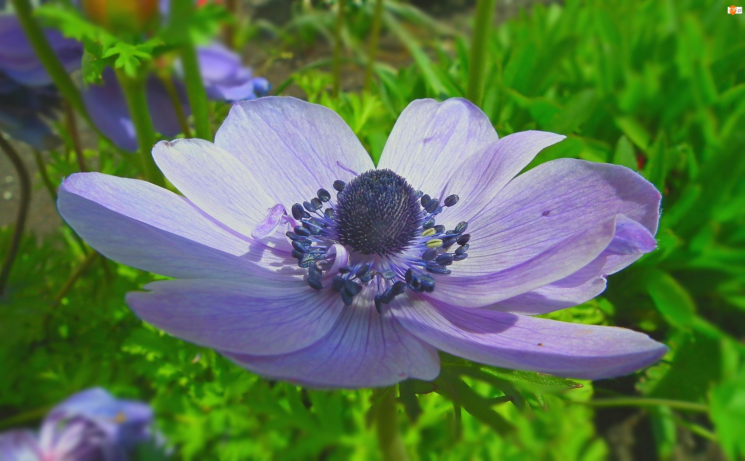 Kwiat, Anemon