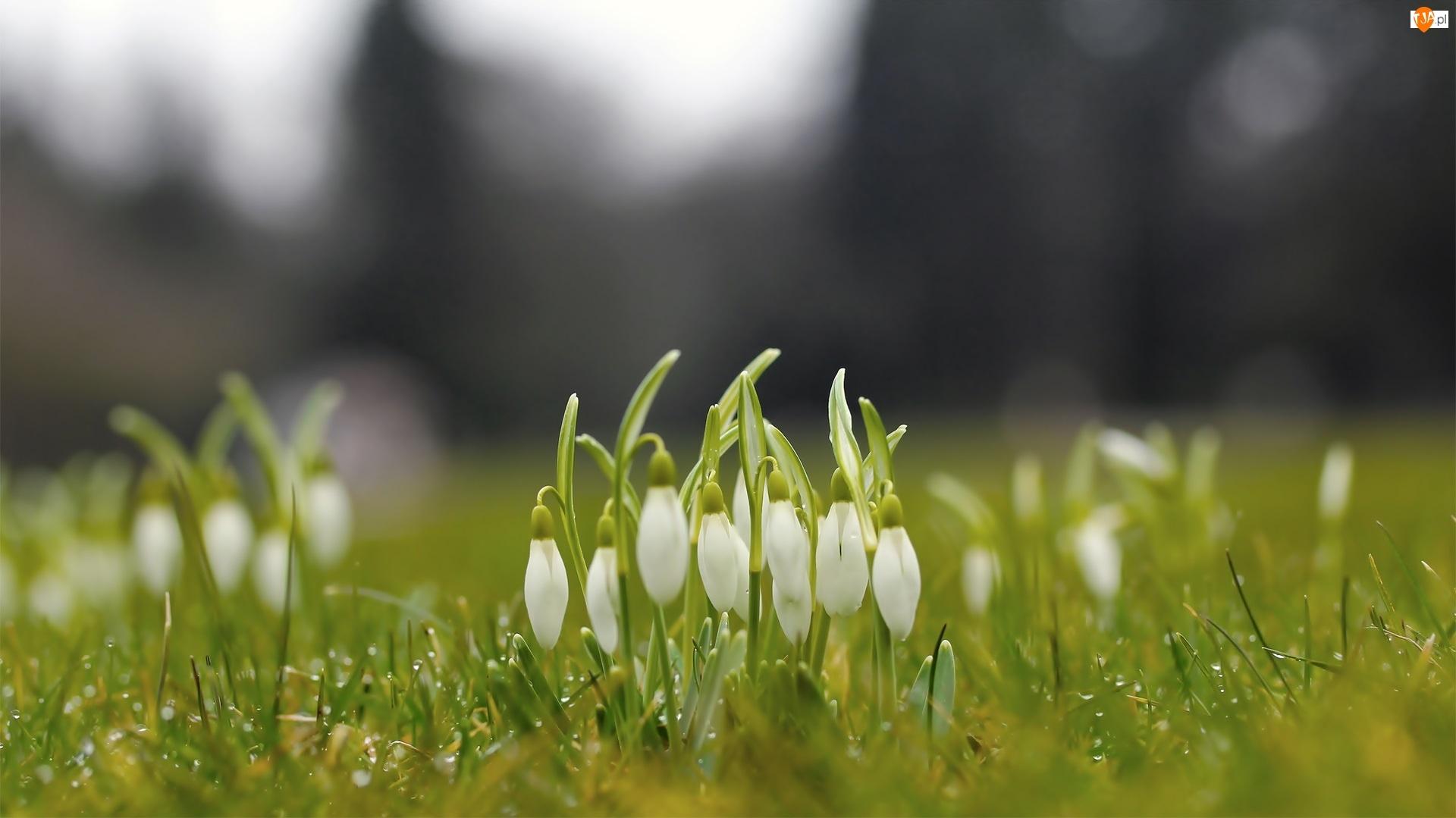 Trawa, Kwiaty, Przebiśniegi