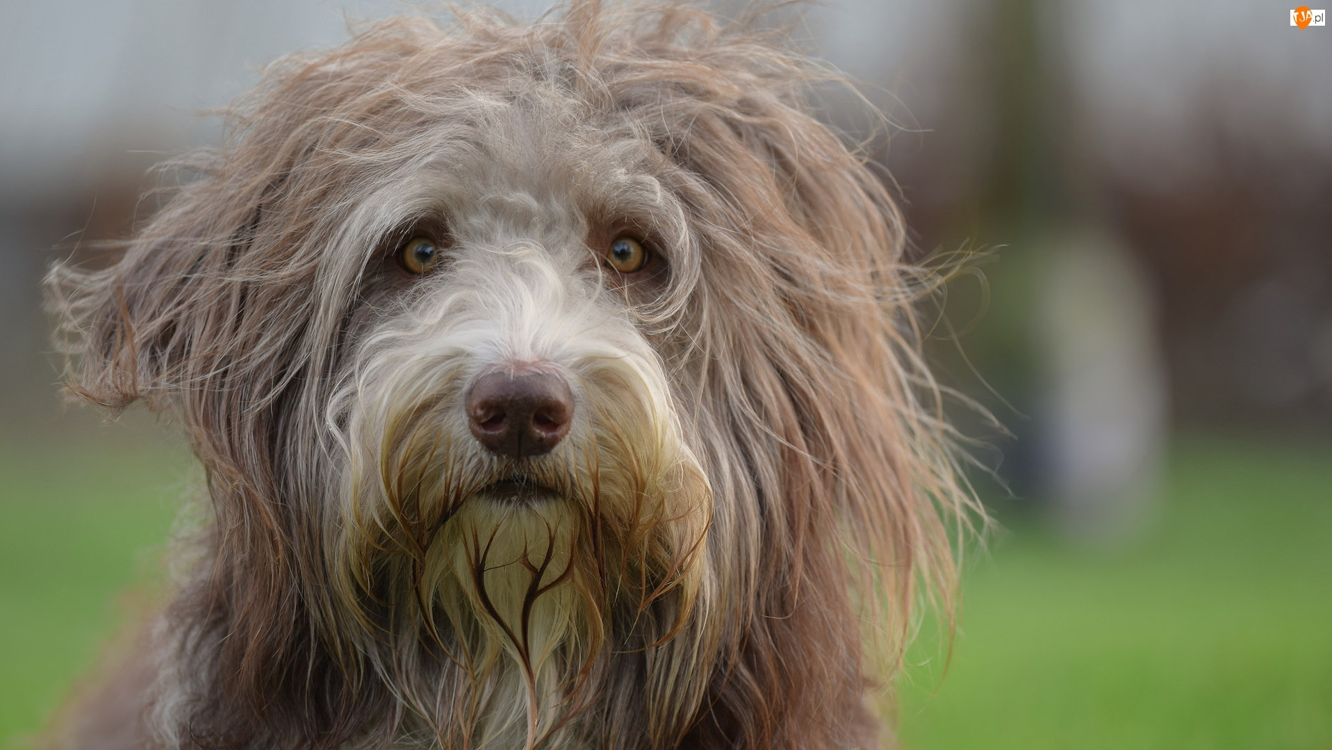 Mordka, Kosmaty, Bearded collie