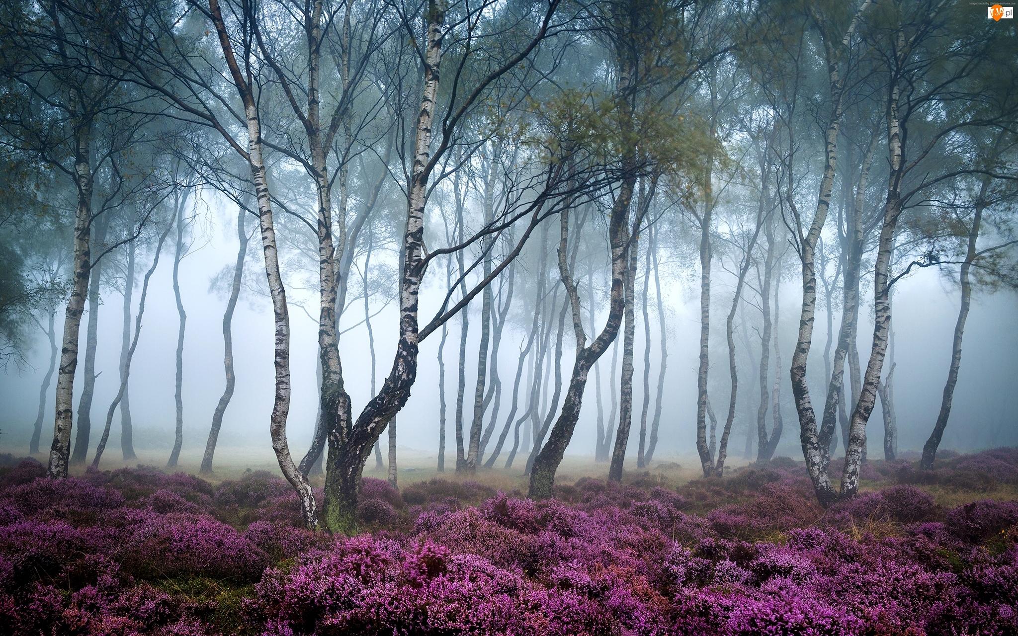Wrzosowisko, Park Narodowy Peak District, Brzozy, Las, Drzewa, Stanton Moor, Jesień, Anglia, Mgła