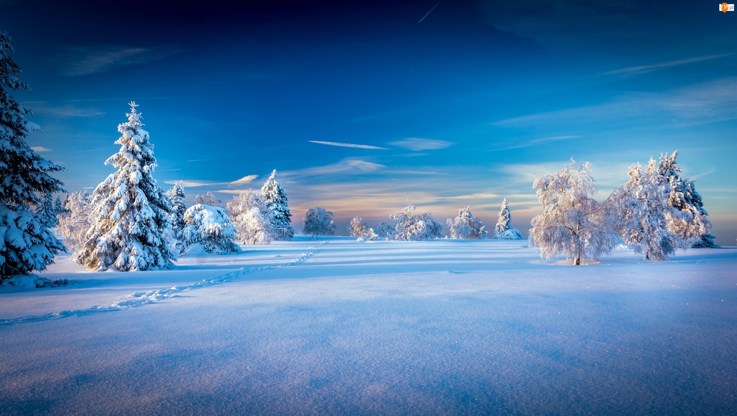 Świerki, Zima, Drzewa
