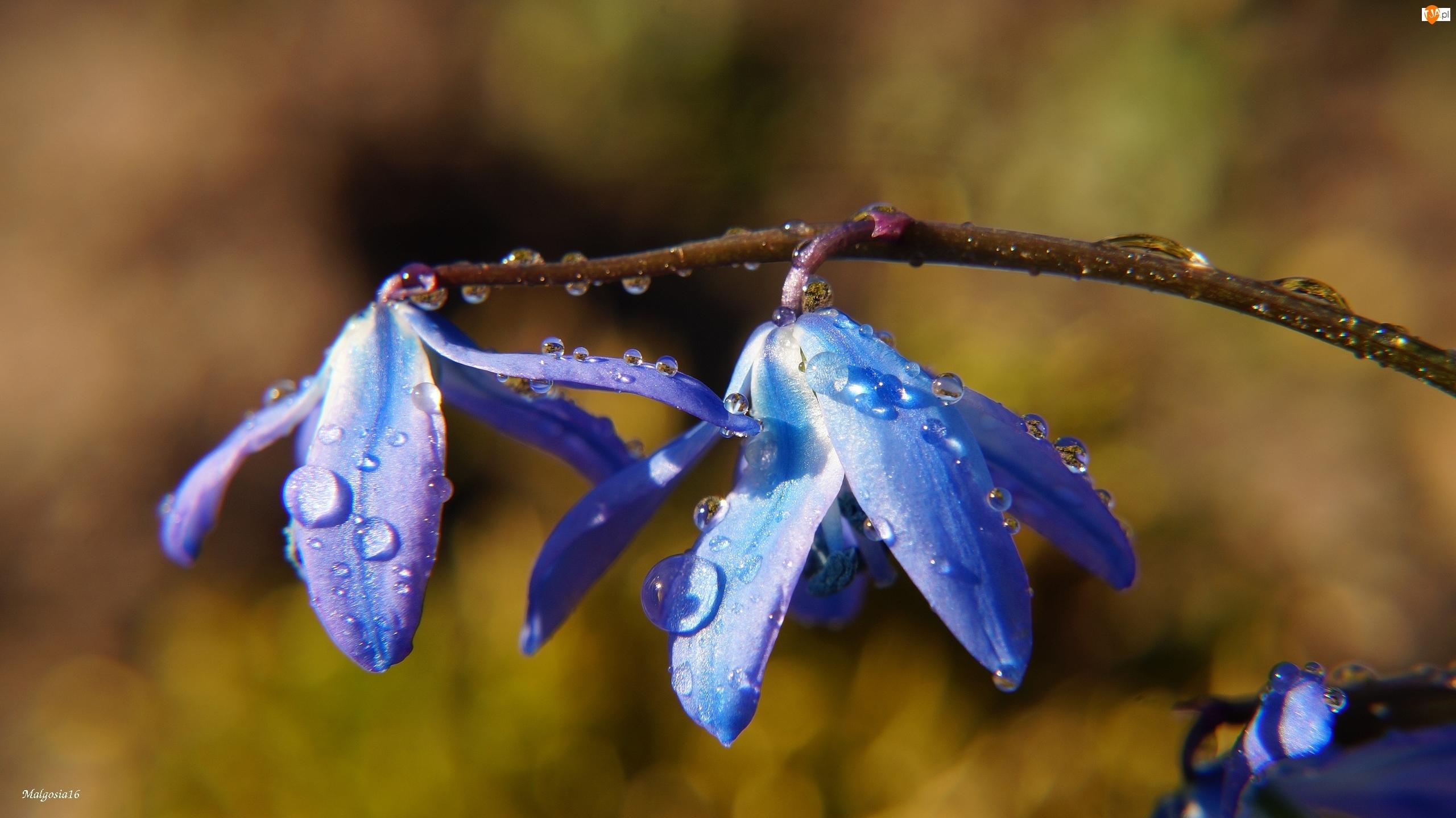 Wody, Kwiaty, Cebulica Syberyjska, Niebieskie, Krople