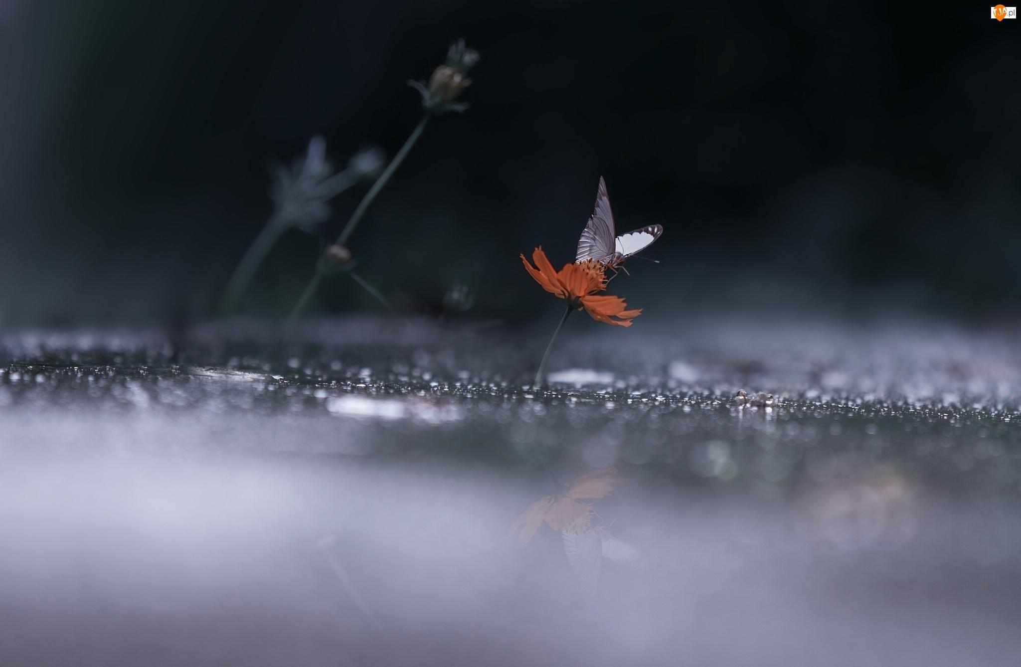Kwiatek, Biały, Motyl