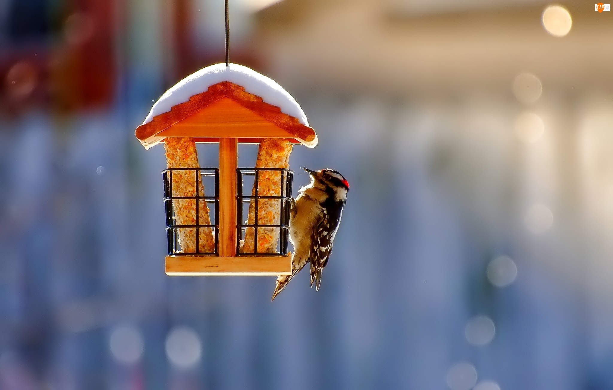 Ptaszek, Zima, Dzięcioł mały, Karmnik