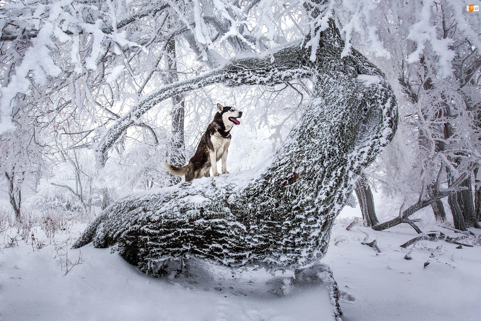 Siberian Husky, Zima, Drzewa, Zaśnieżone, Pies