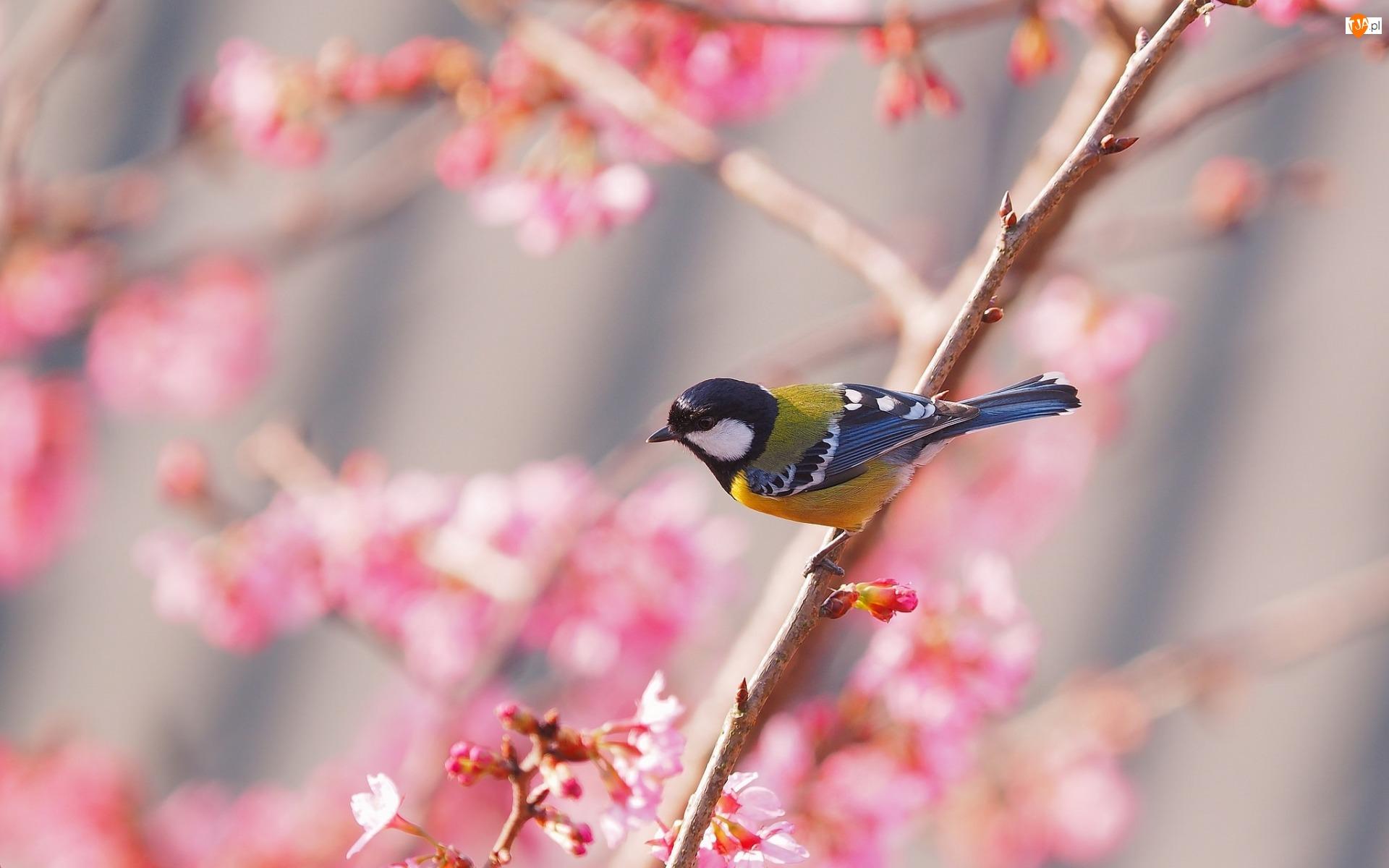 Wiosna, Sikorka, Gałąź
