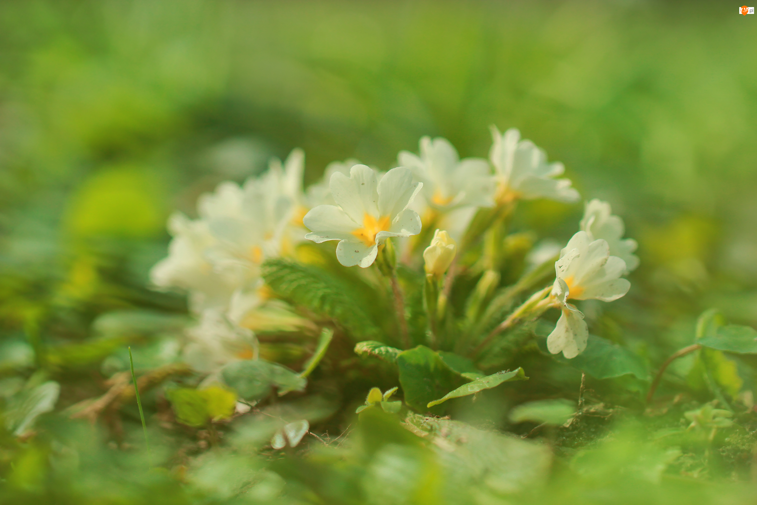Kwiaty, Pierwiosnek, Prymula