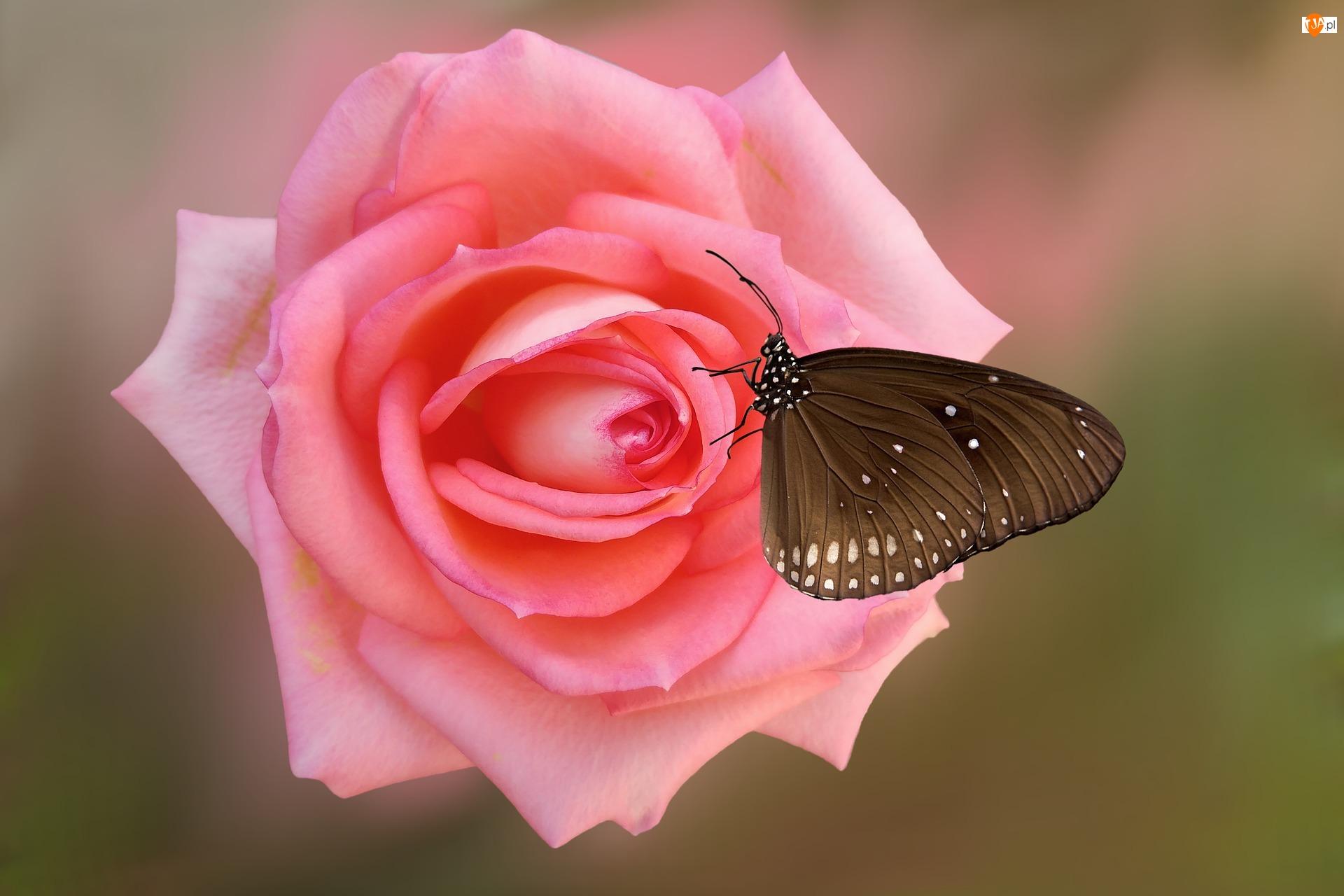 Kwiat, Motyl Euploea core, Róża, Różowa