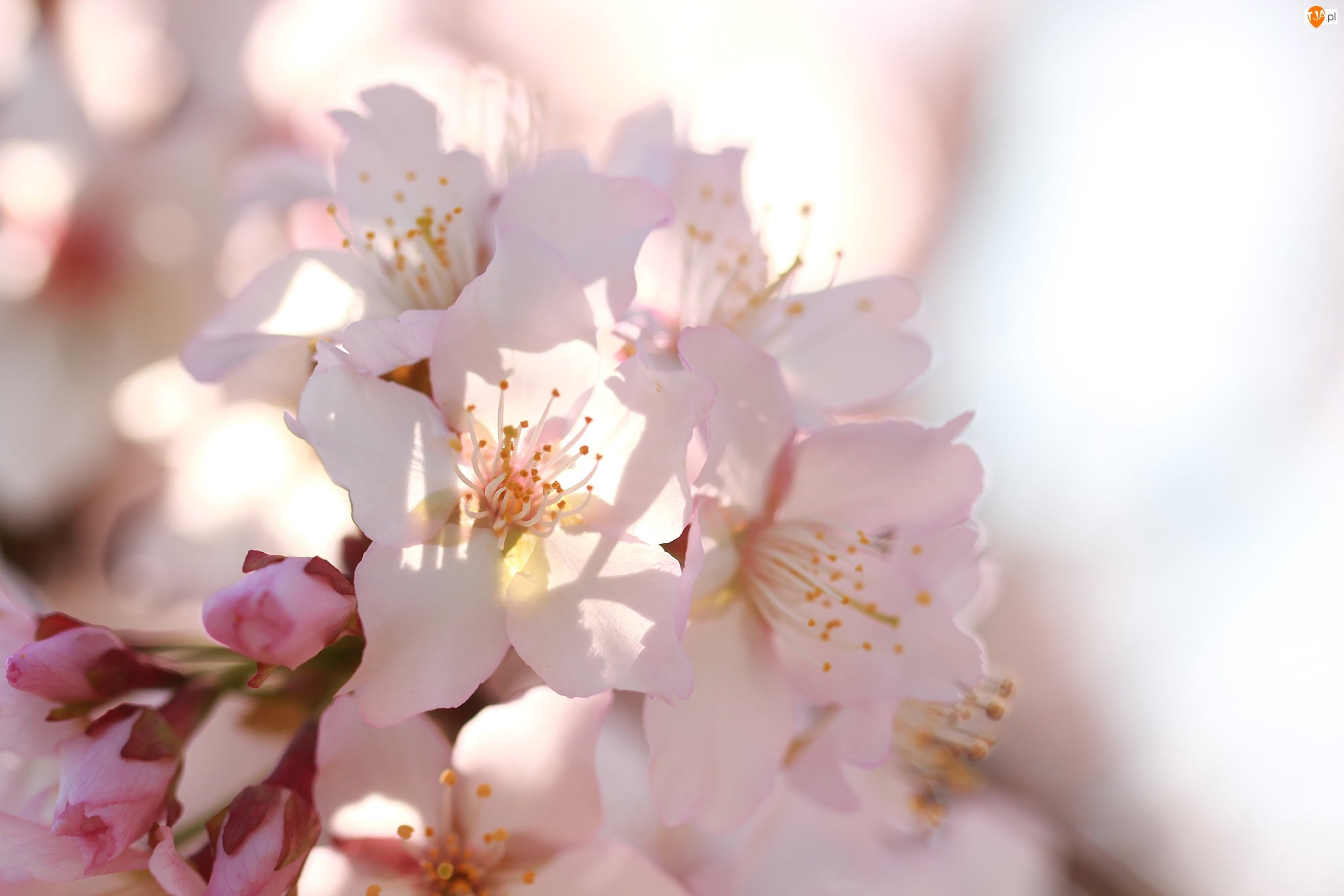 Światło, Drzewo, Różowe, Owocowe, Kwiaty