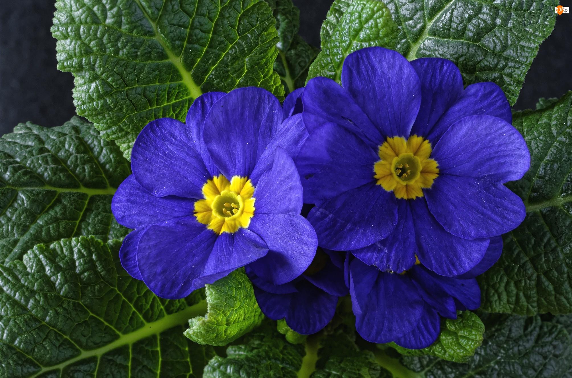 Kwiaty, Pierwiosnek, Niebieskie