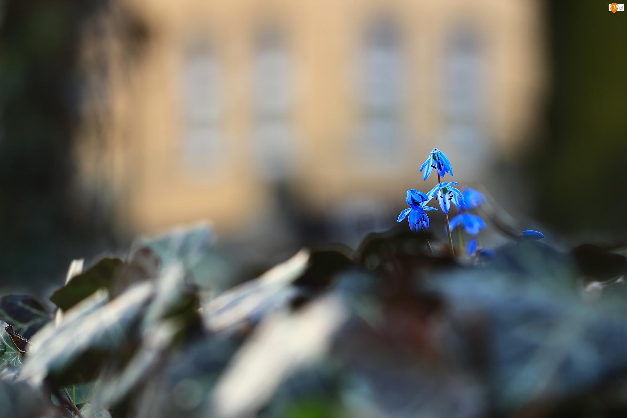Kwiatki, Cebulice Syberyjskie, Niebieskie