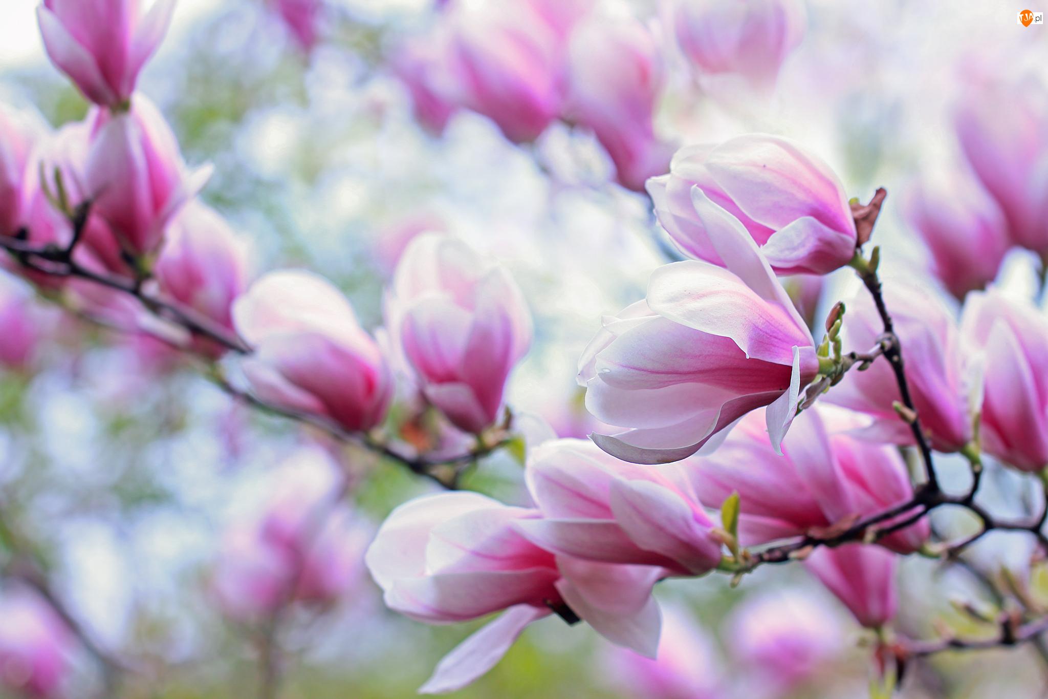 Kwiaty, Różowa, Magnolia
