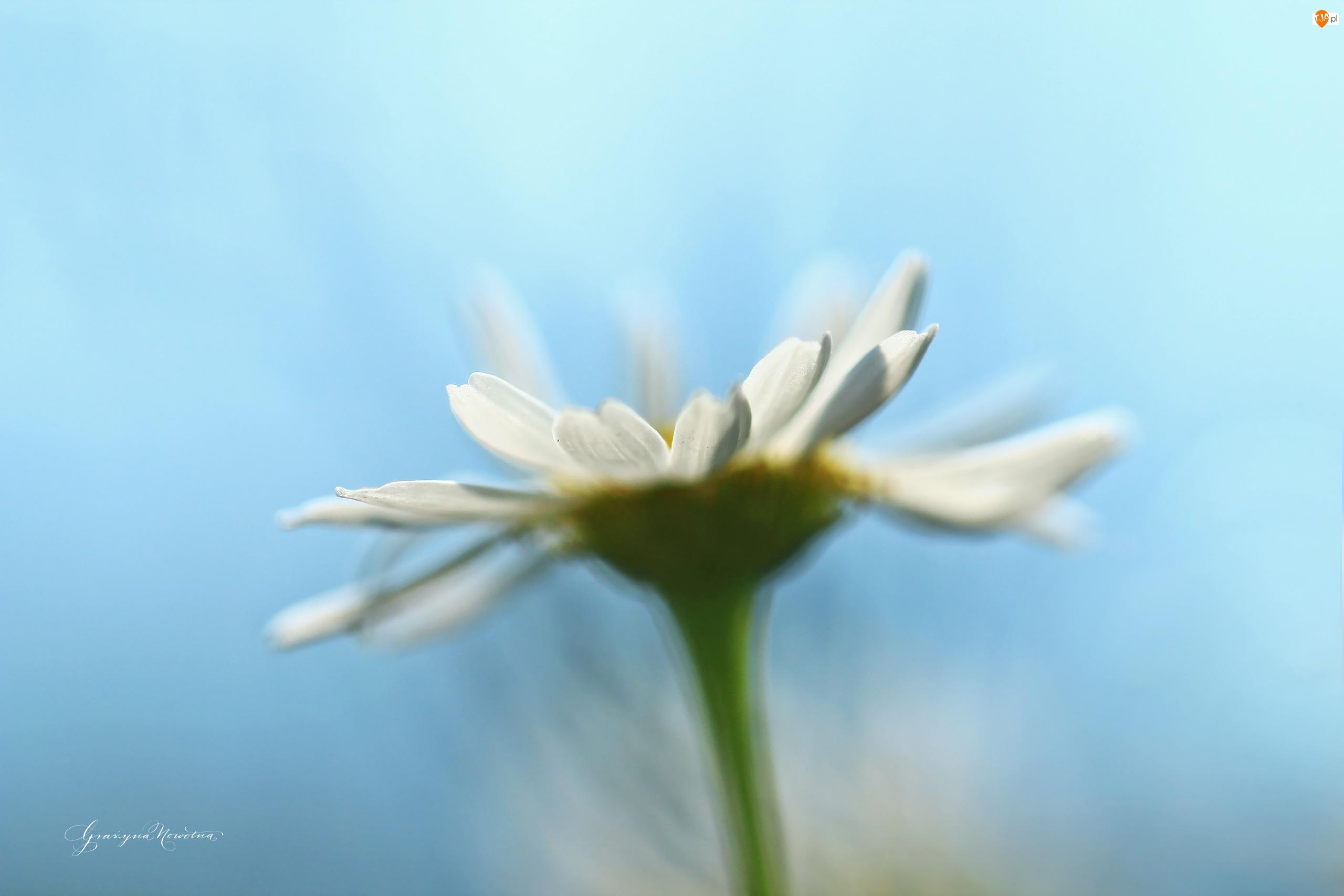 Kwiat, Margerytka, Biały