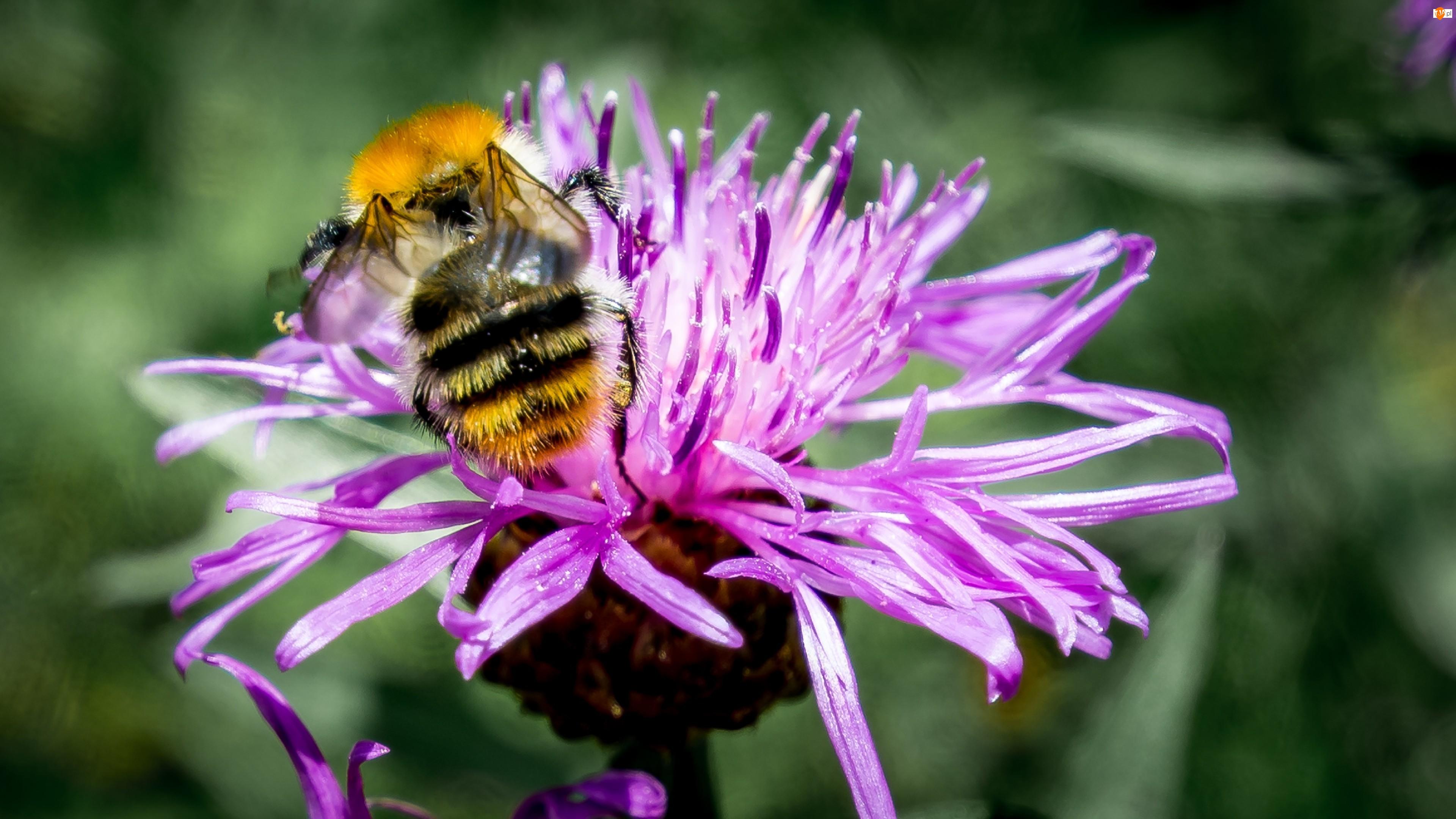 Pszczoła, Łąka, Kwiat, Lato