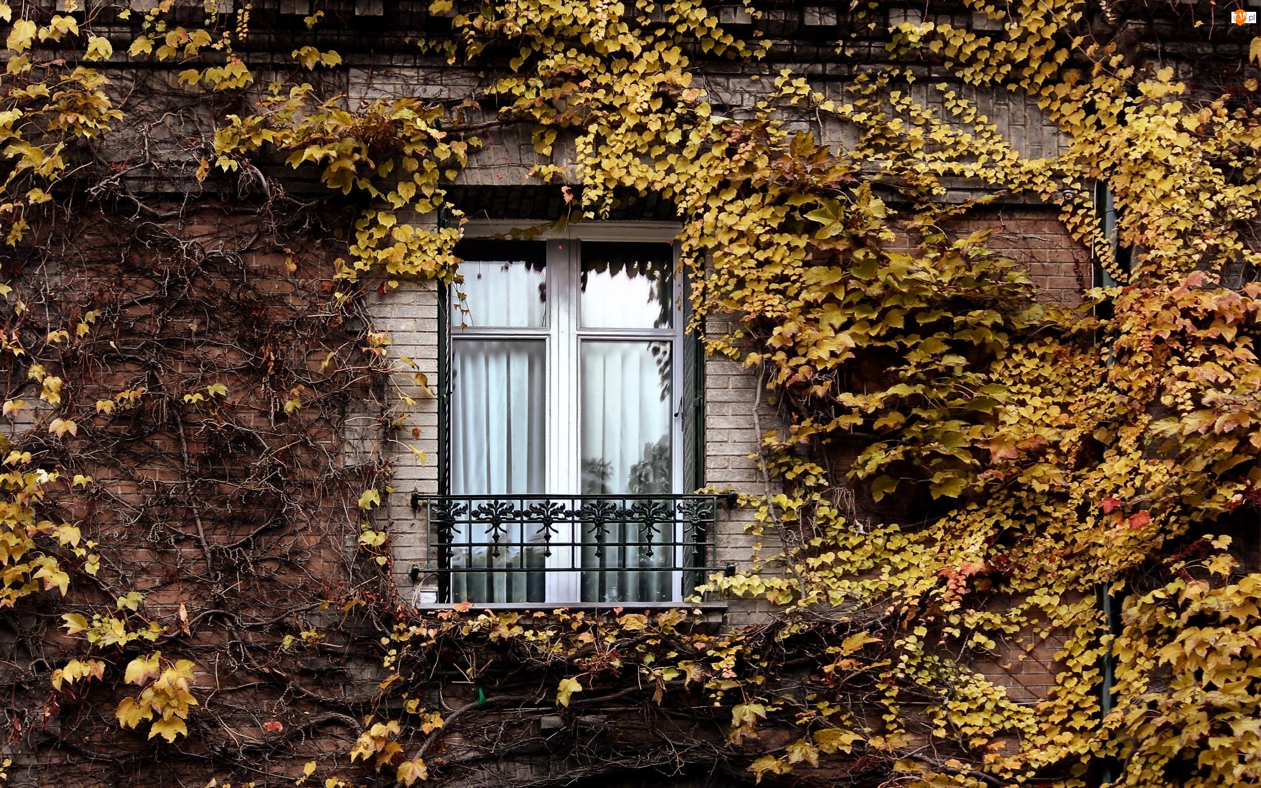 Krzewy, Pnące, Budynku, Fasada, Liście, Okno, Jesienne