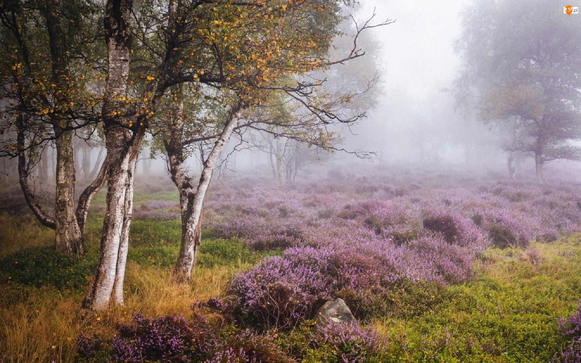Park Narodowy Peak District, Jesień, Brzozy, Stanton Moor, Wrzosowisko, Mgła, Anglia, Drzewa