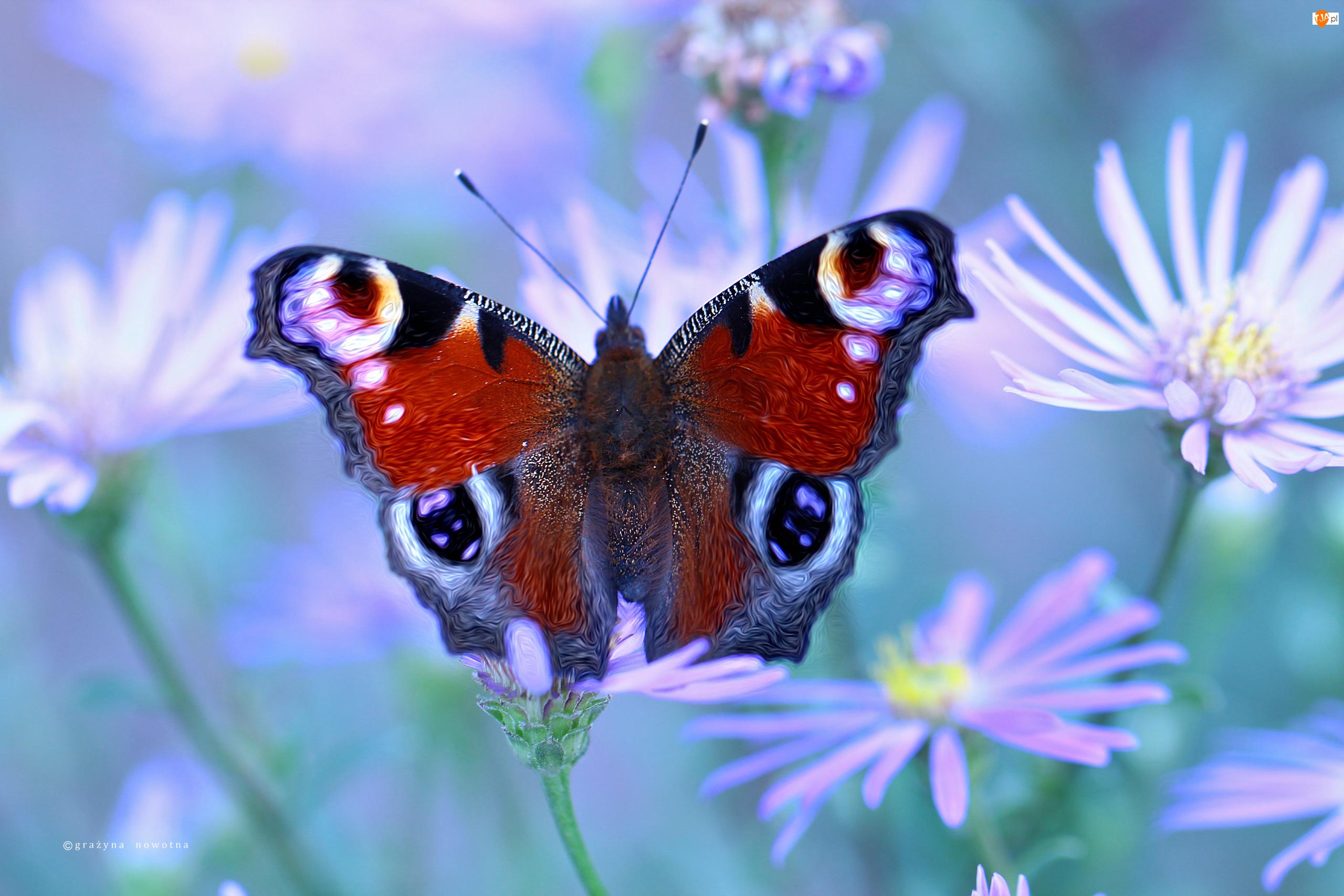 Kwiaty, Rusałka Pawik, Motyl