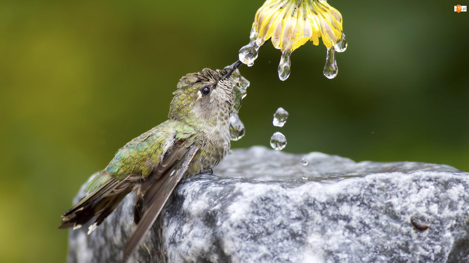 Koliber, Krople, Kwiat, Woda