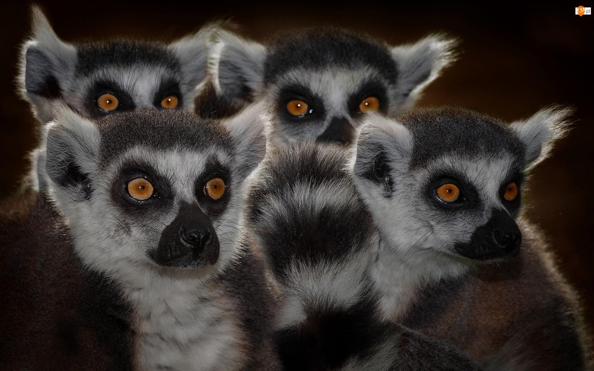 Rodzina, Lemurów