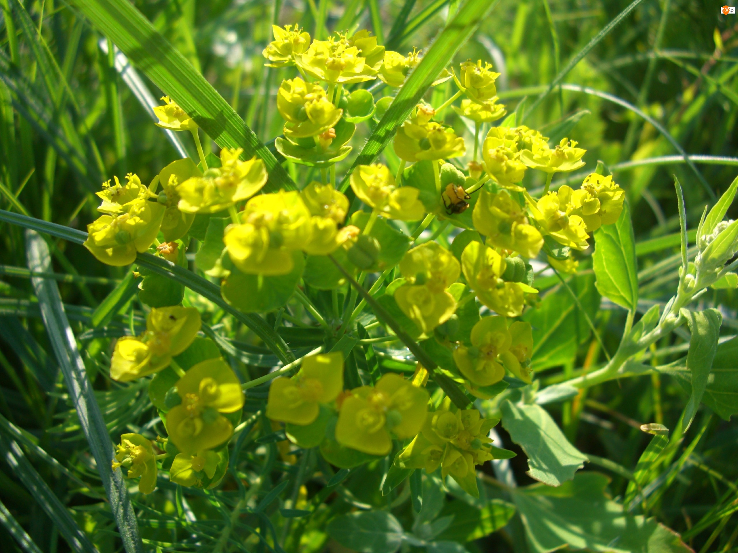 Żółte, Wilczomlecz, Polne, Kwiatki