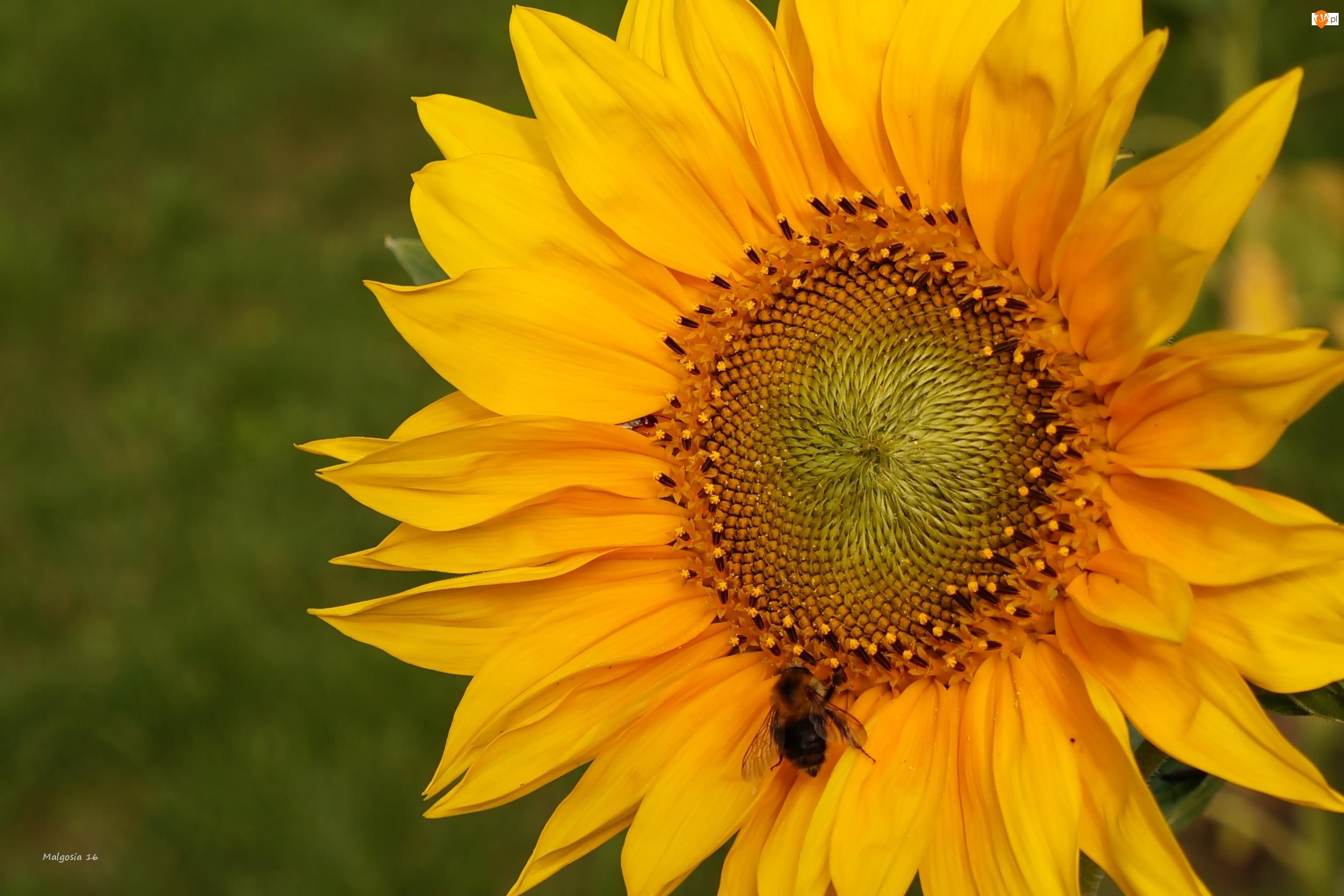 Słonecznik, Trzmiel