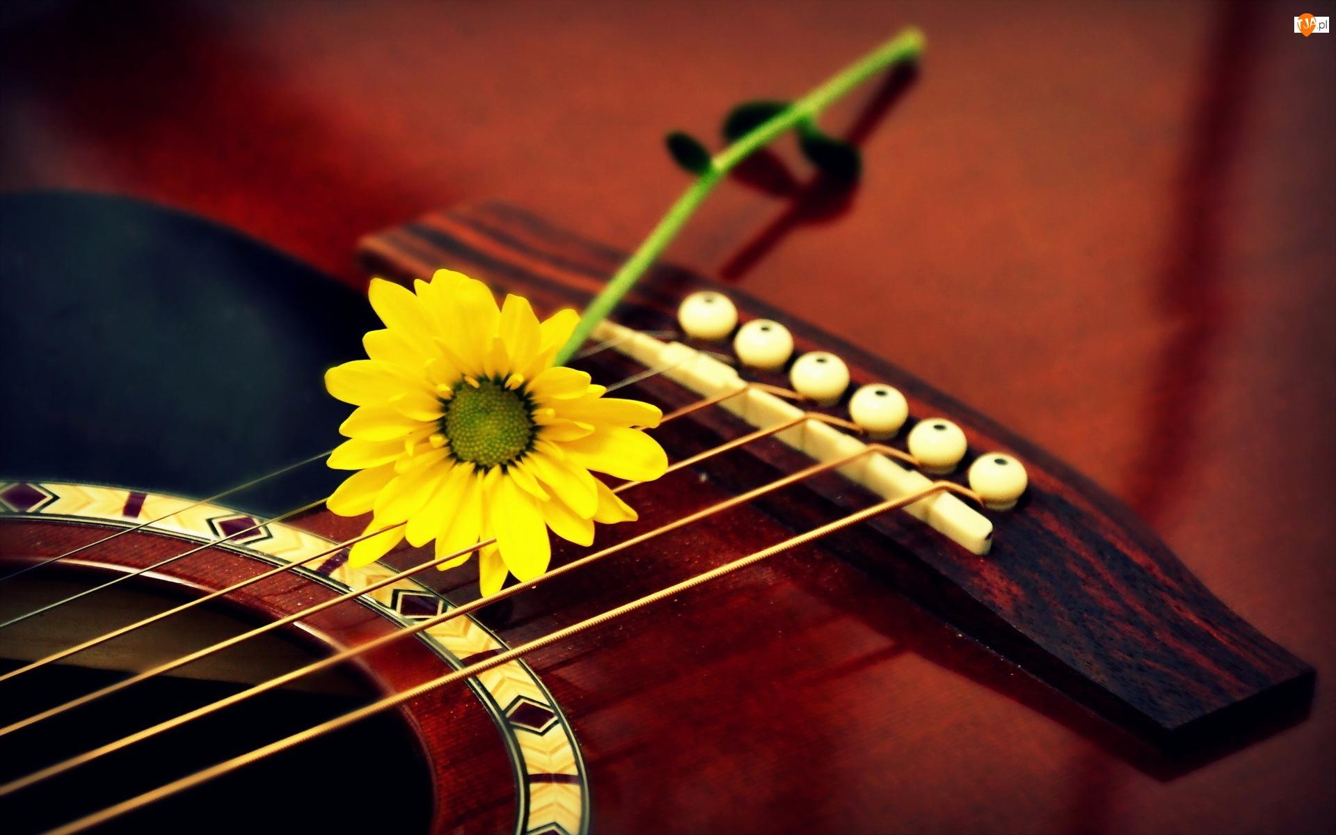 Gitara, Gerbera, Żółty, Kwiat