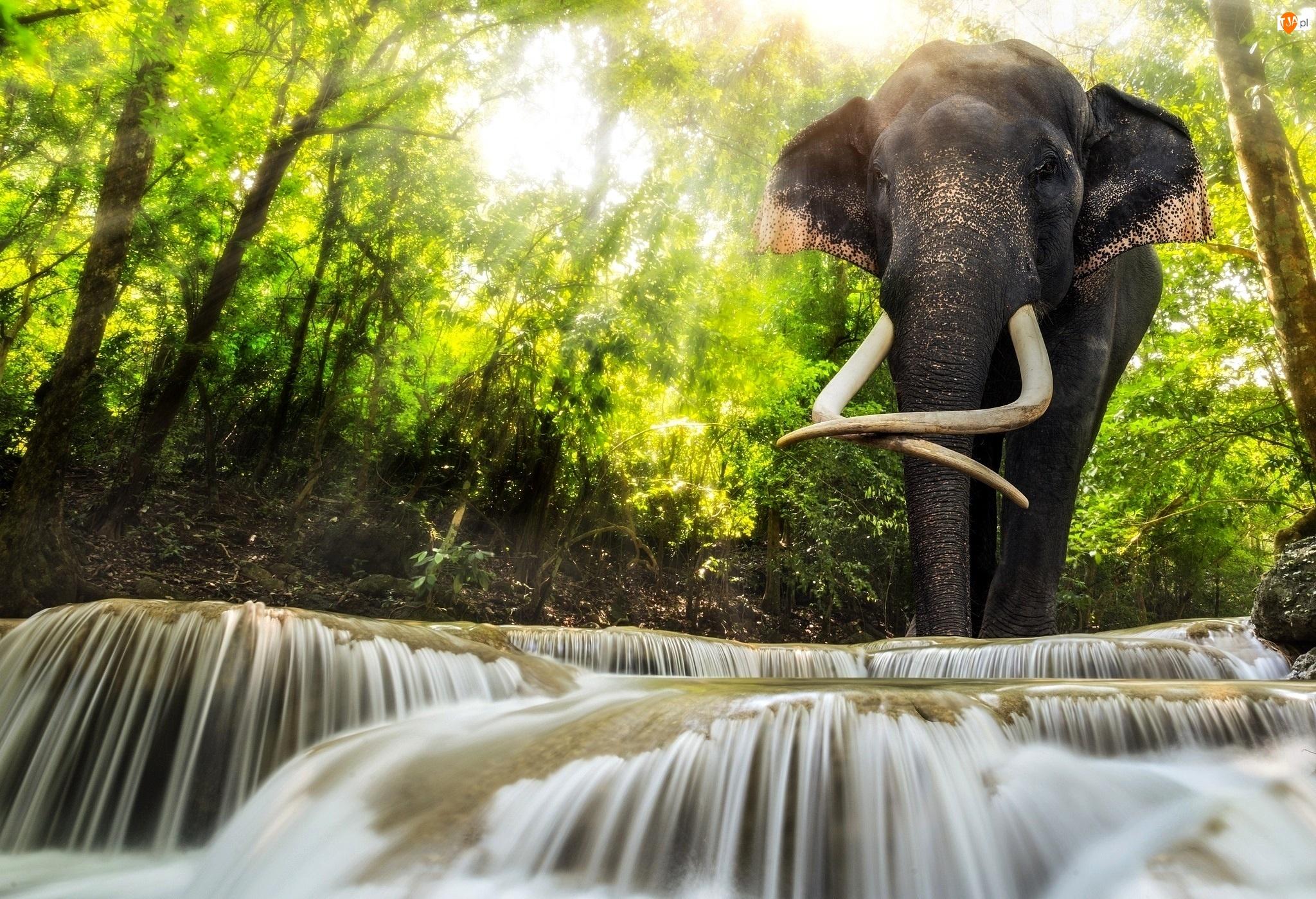 Słoń, Rwąca Rzeka, Las, Przebijające Światło