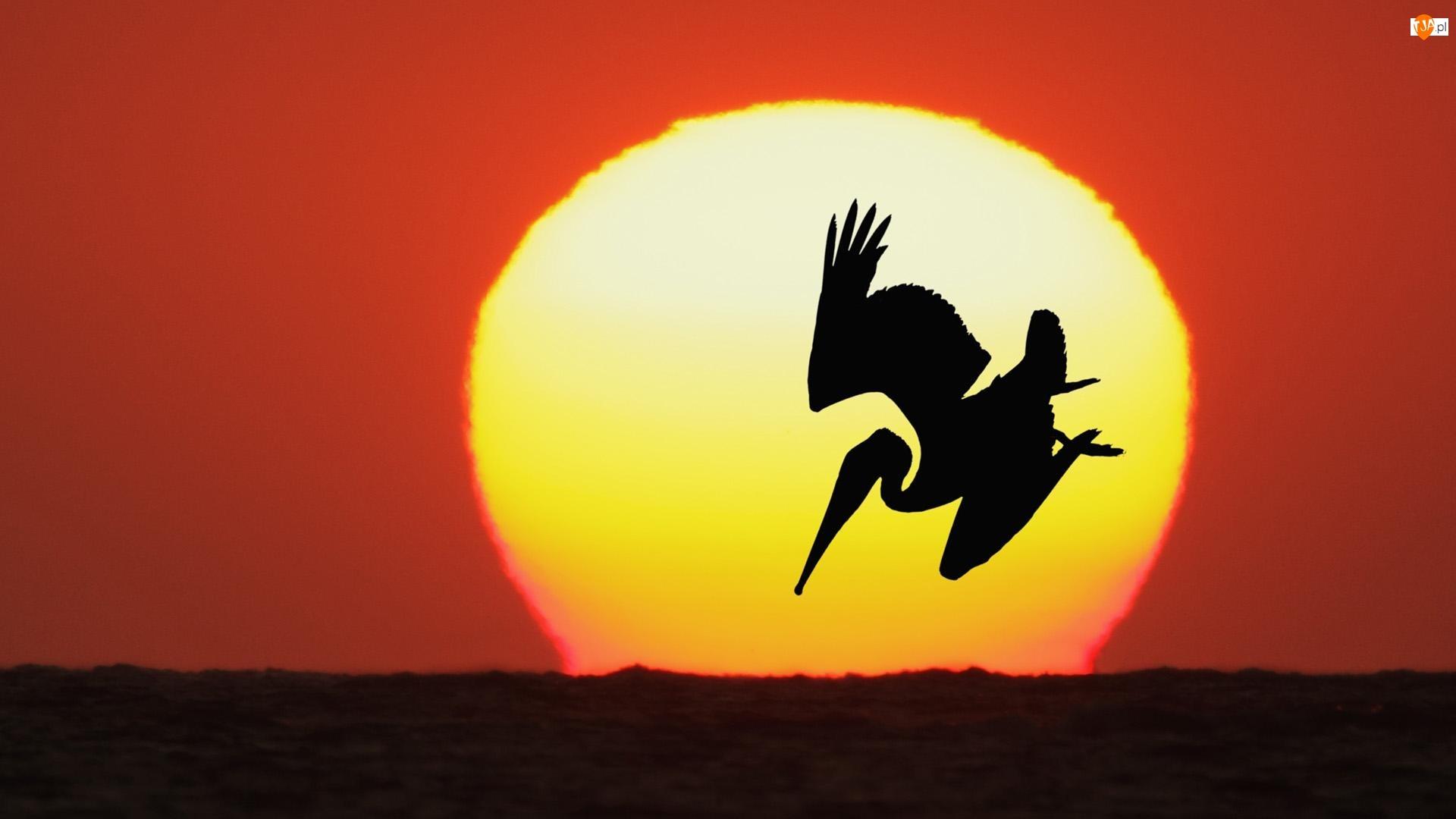 Pelikan, Słońce, Ptak, Zachód Słońca