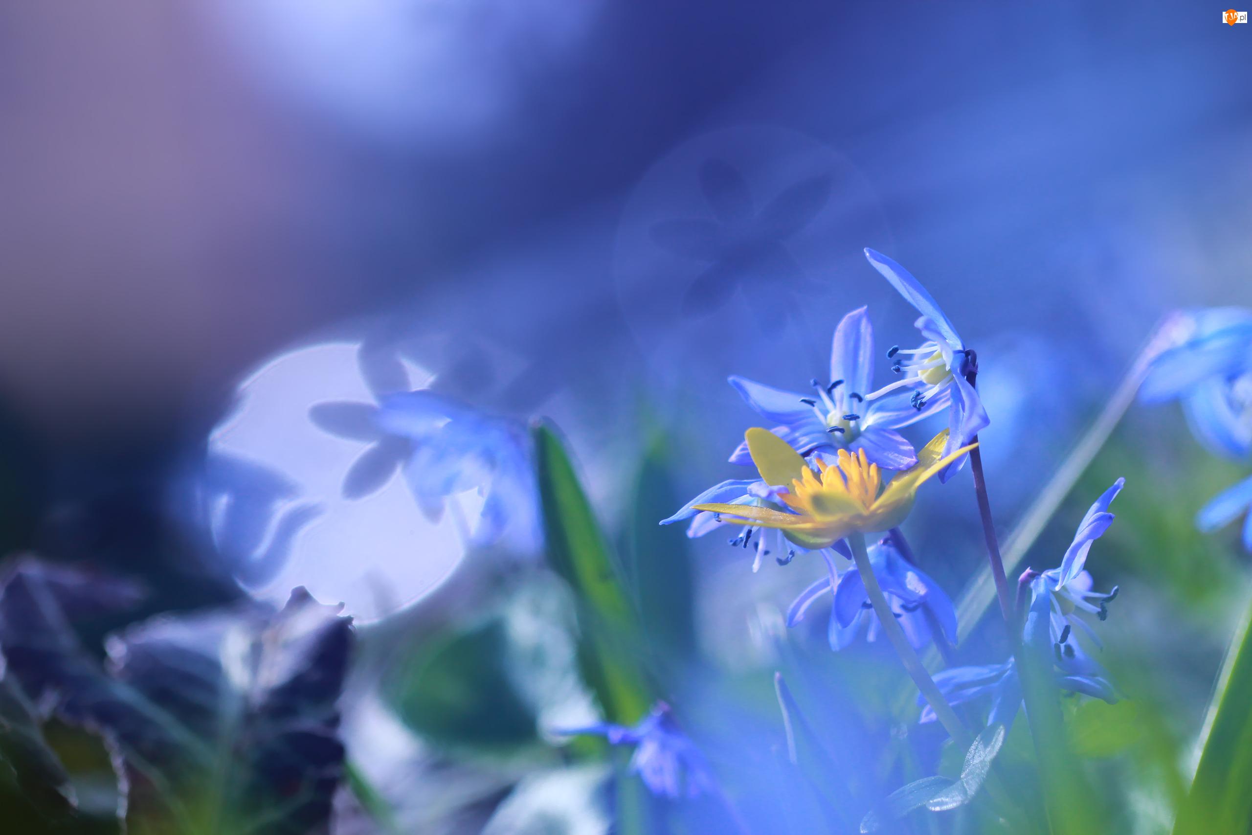 Niebieskie, Bliki, Kwiaty, Cebulica Syberyjska