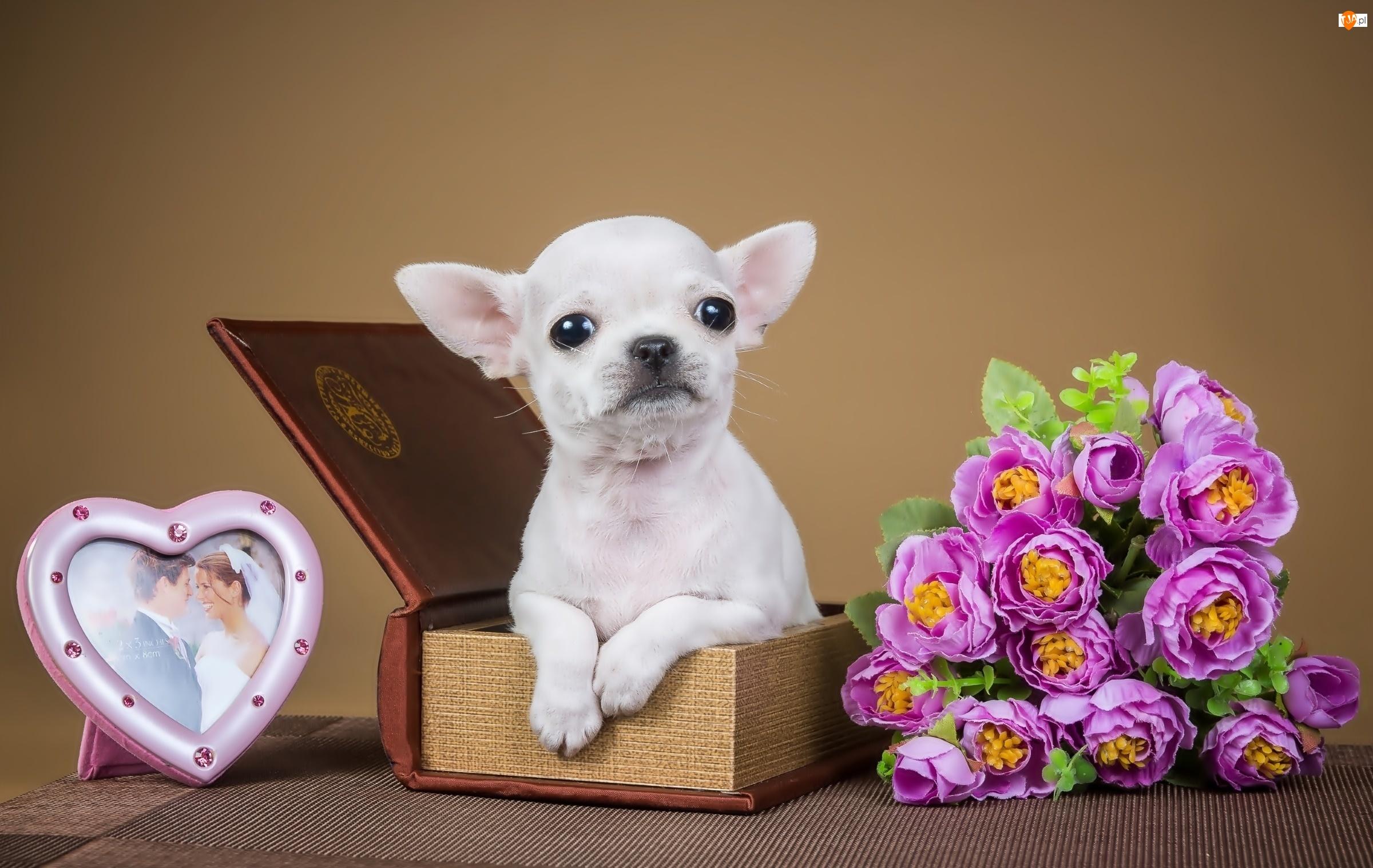 Chihuahua, Biały, Szczeniak
