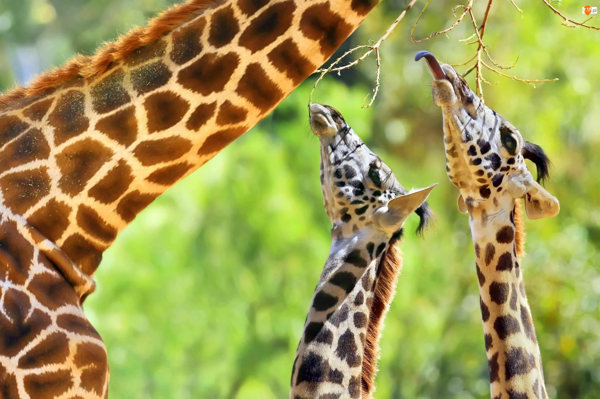 Gałązki, Żyrafy, Język
