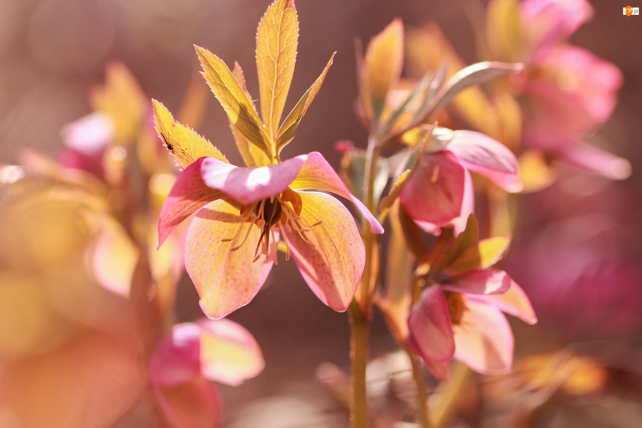 Kwiaty, Różowe, Ciemierniki